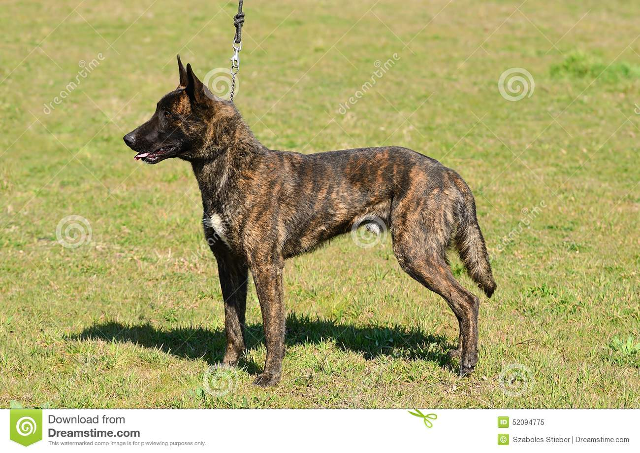 Dutch Shepherd: photo and description of the breed, characteristics, characteristics of the content and education 7