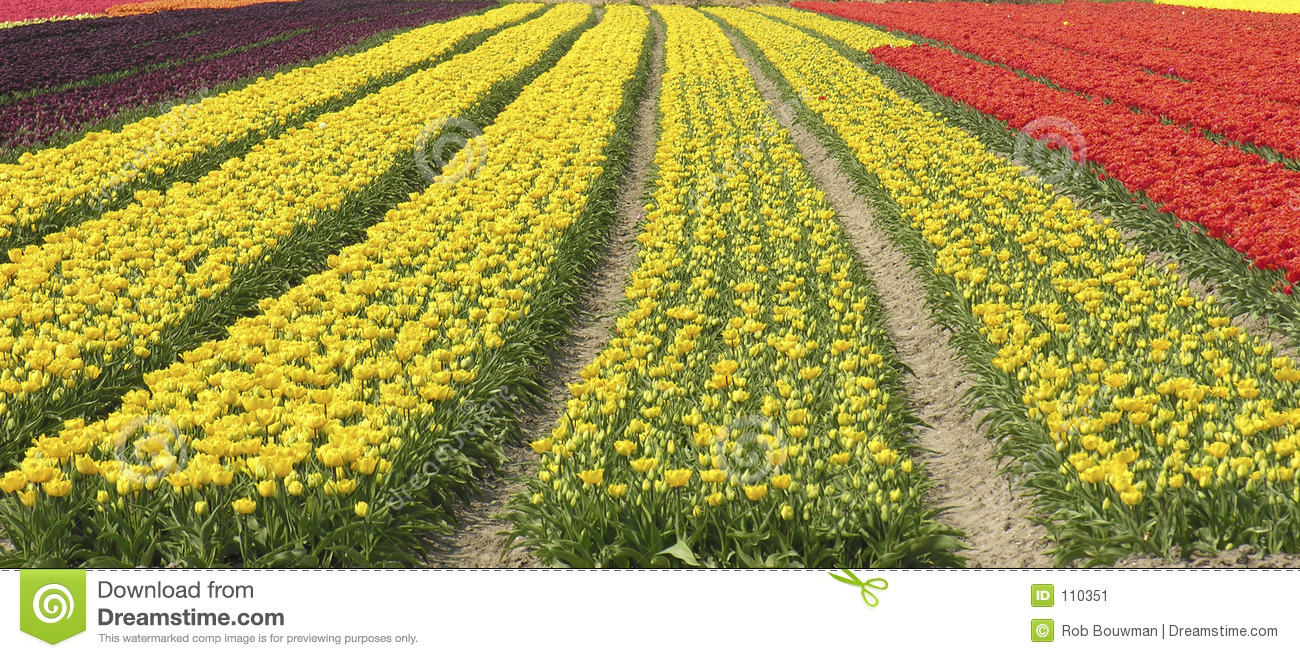Download Dutch tulips stock image. Image of dutch, tulip, tulips - 110351
