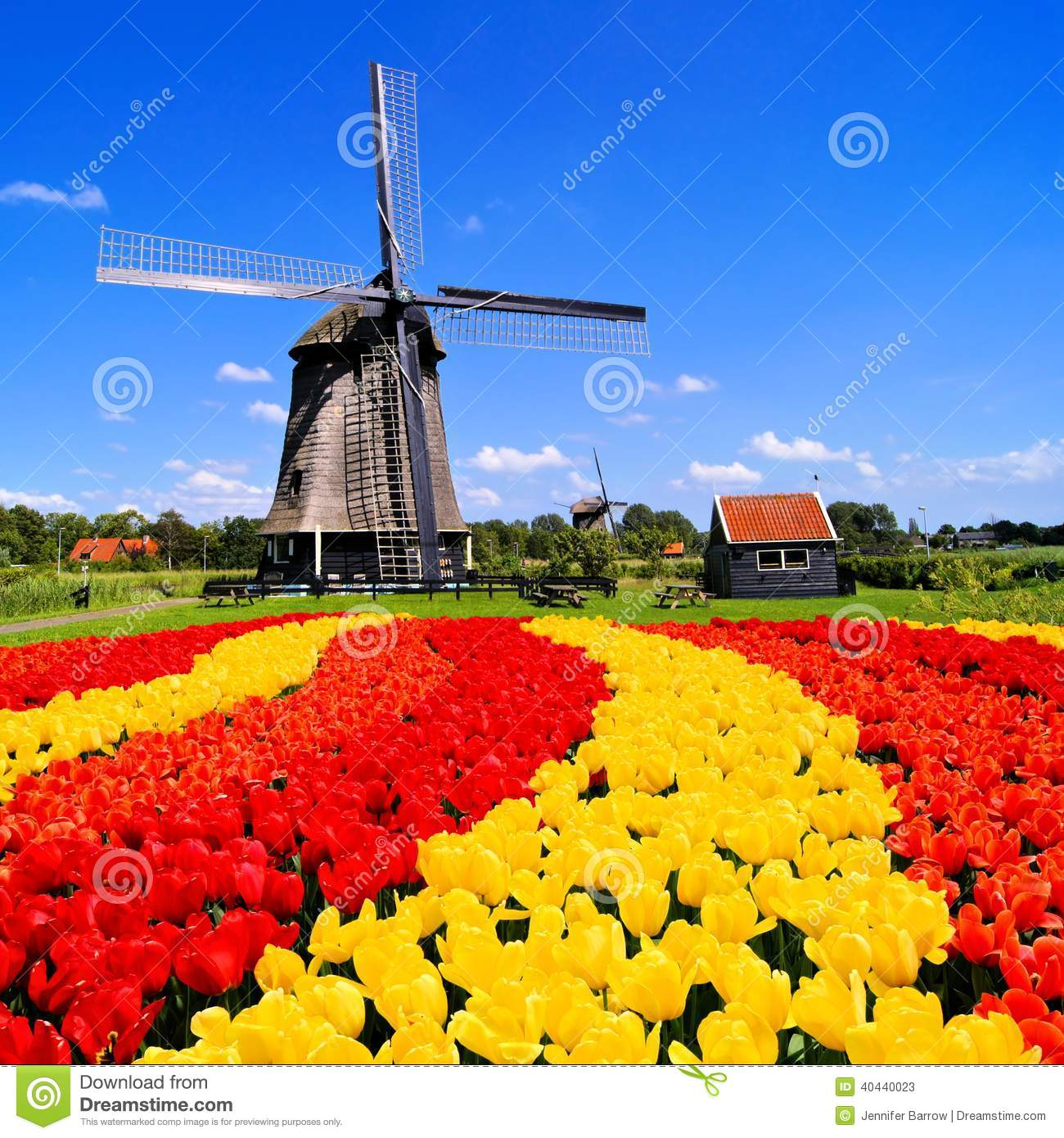 Vibrant tulips with windmill in the background, Netherlands.