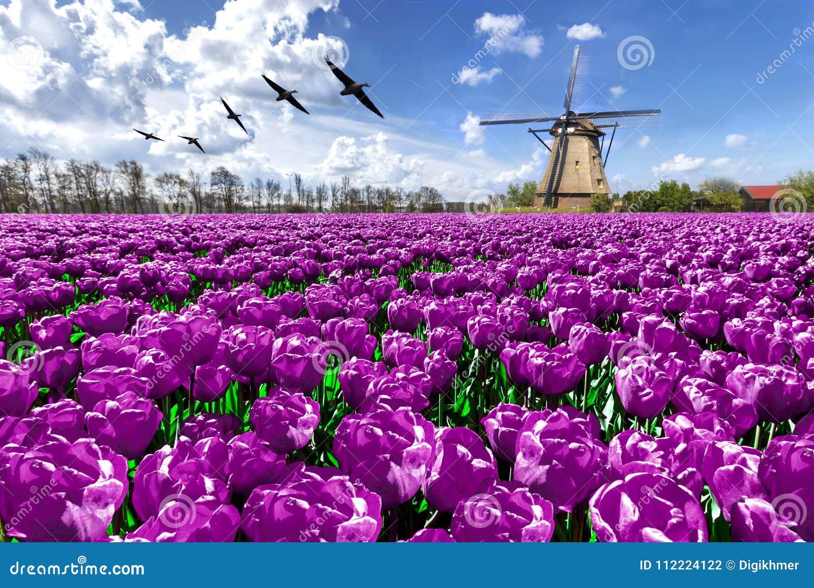 Dutch windmill spring landscape