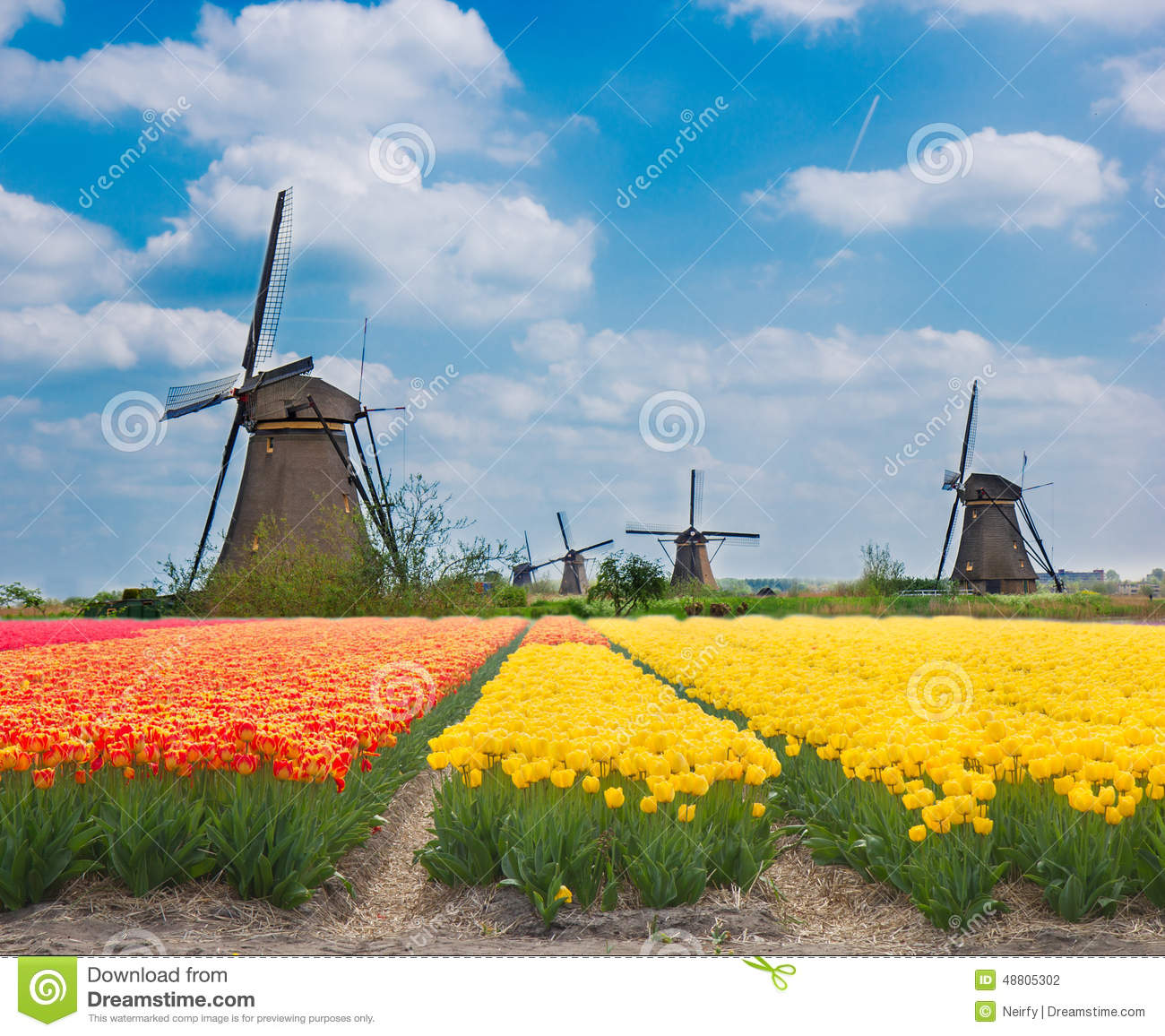 ... windmills over tulips orange and yellow fields in sunny day, Holland