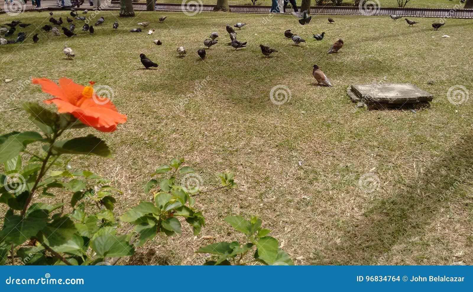 Duvor i parkera