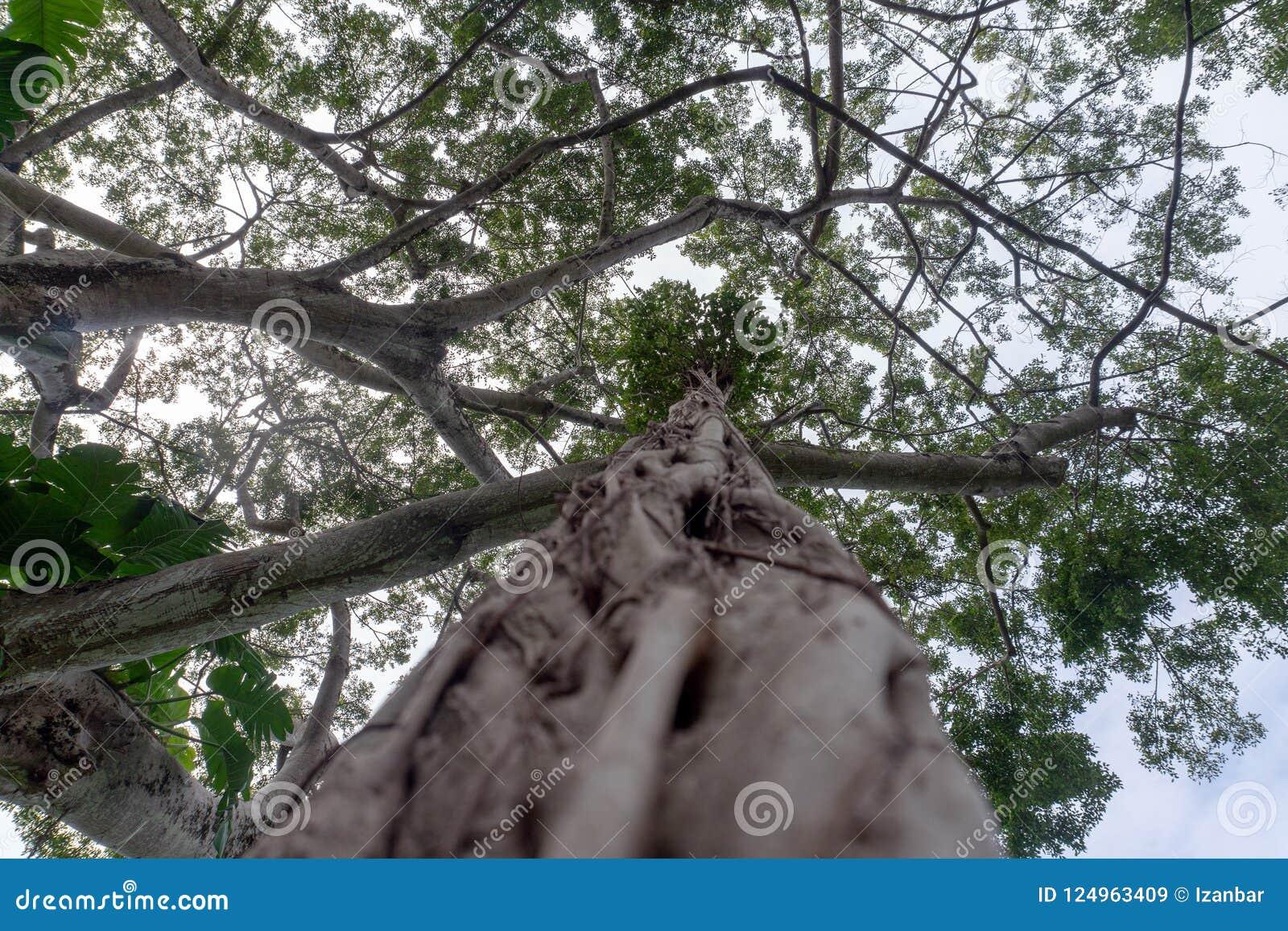 Duzi beniamin gałąź lian korzenie