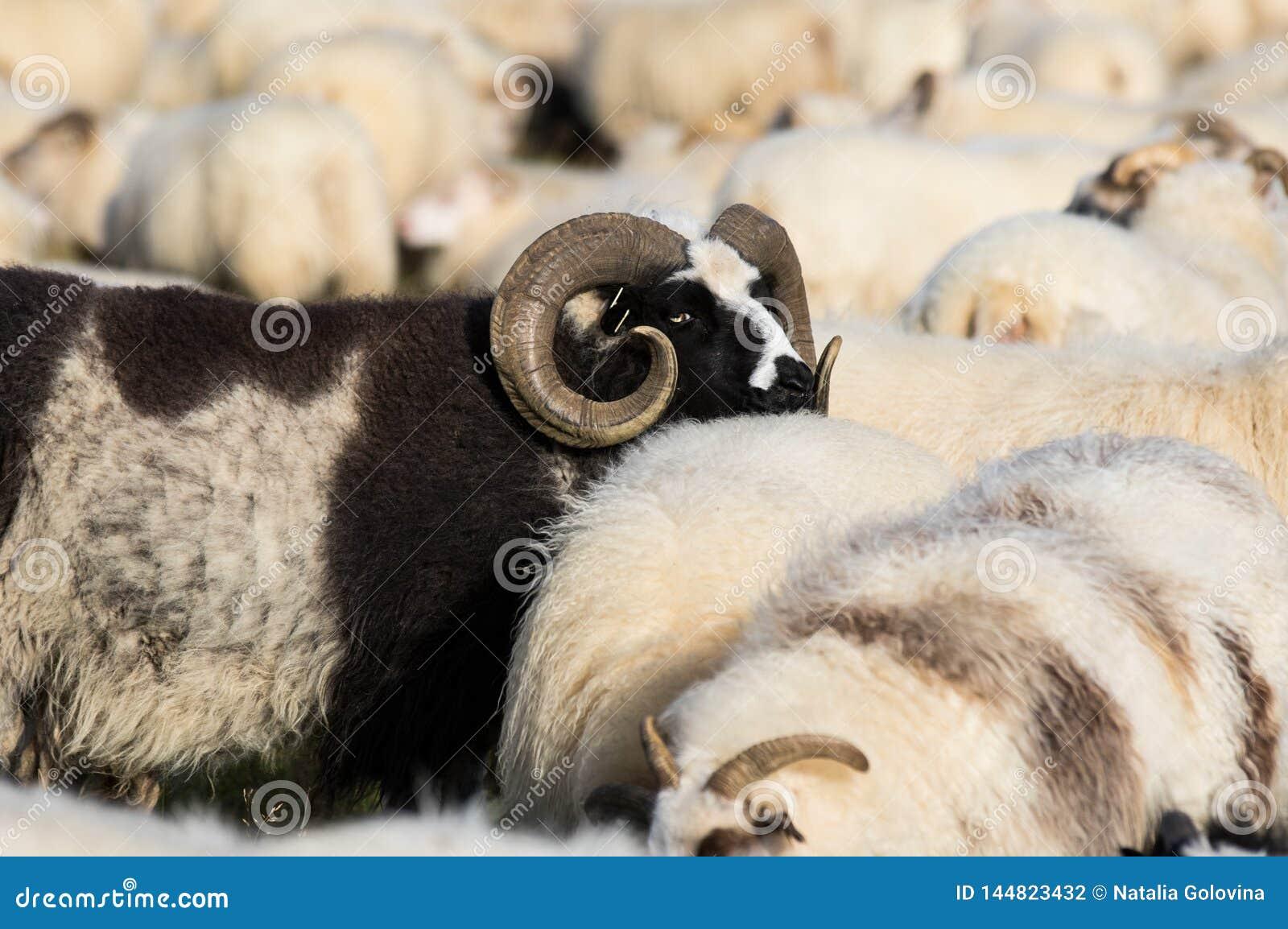 Duzi czarni baran?w cakle z ogromnymi pokr?conymi rogami mi?dzy bia?ymi sheeps w polu Iceland