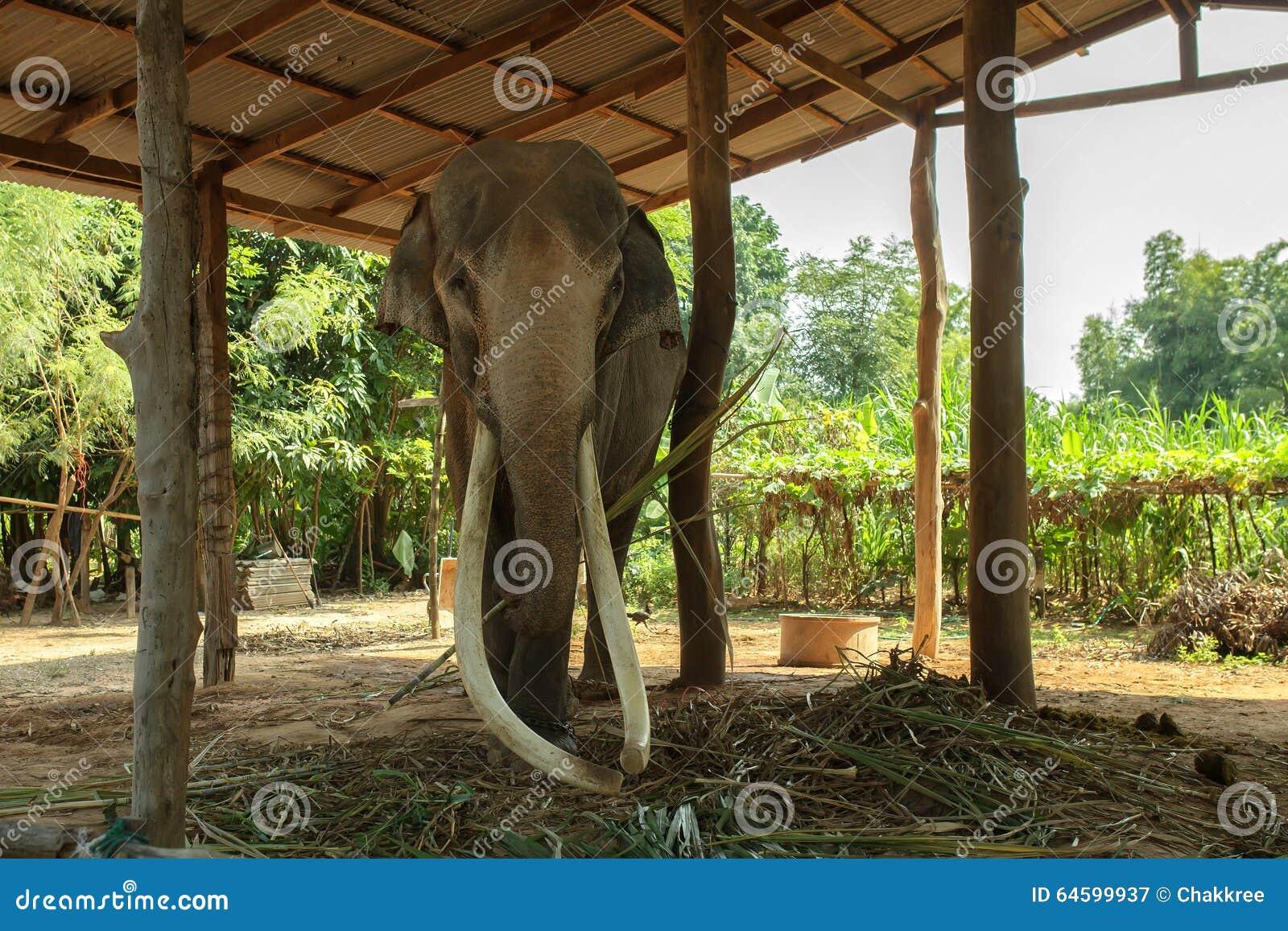 Duzi Dłudzy słoni kły w Surin, Tajlandia