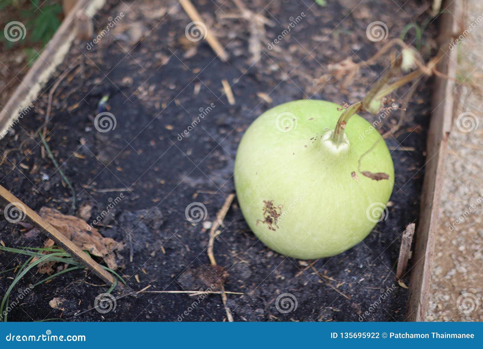 Duzi zieleni gurd warzywa na ziemi