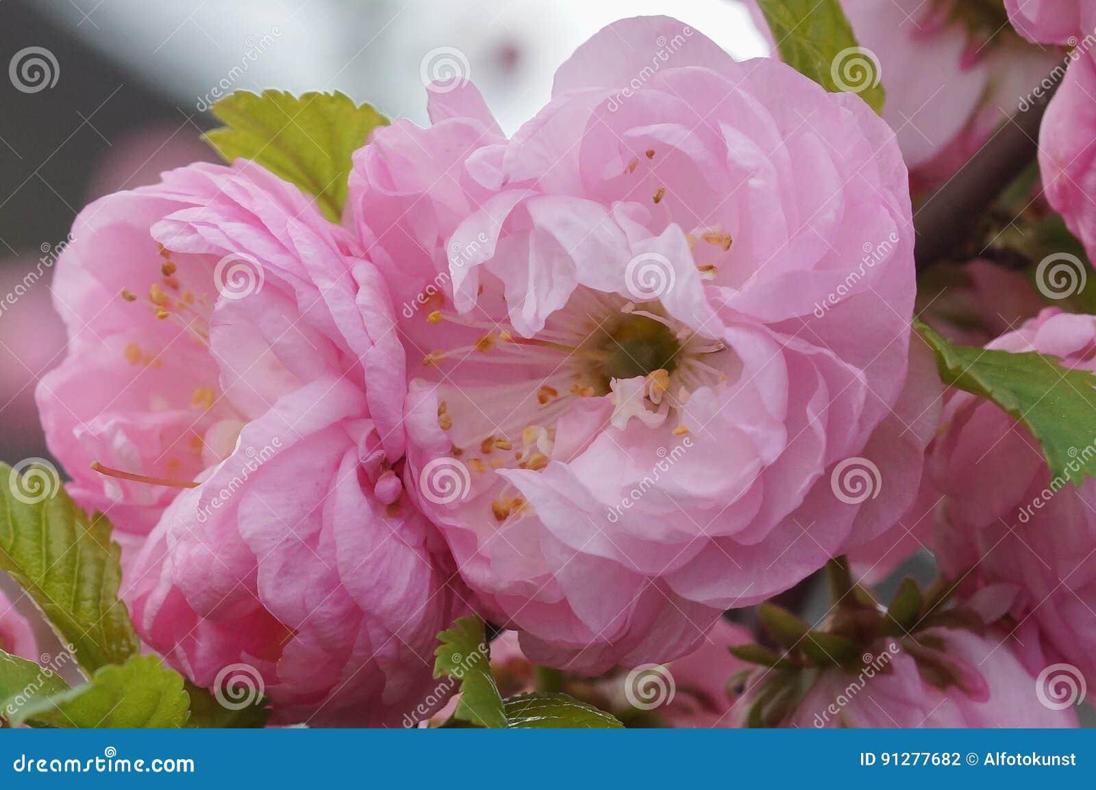 Dvärg- mandel, herold av våren