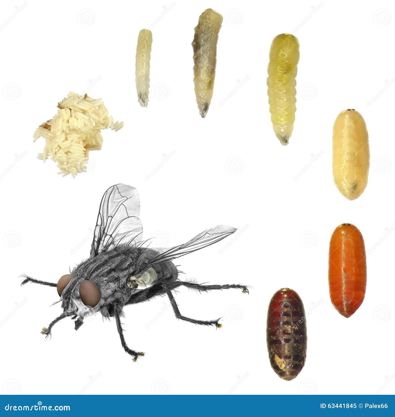 D veloppement de mouche domestique photo stock image for Fliegen larve