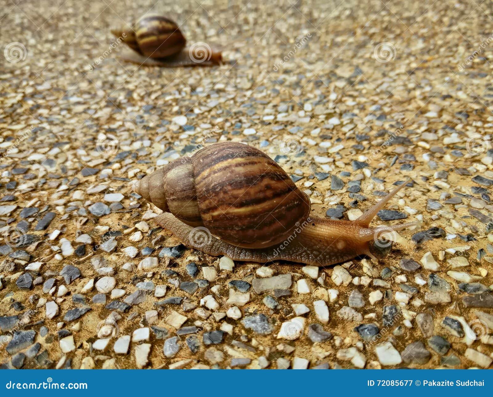 Dwa ślimaczka czołgać się wolno na skalistej podłoga