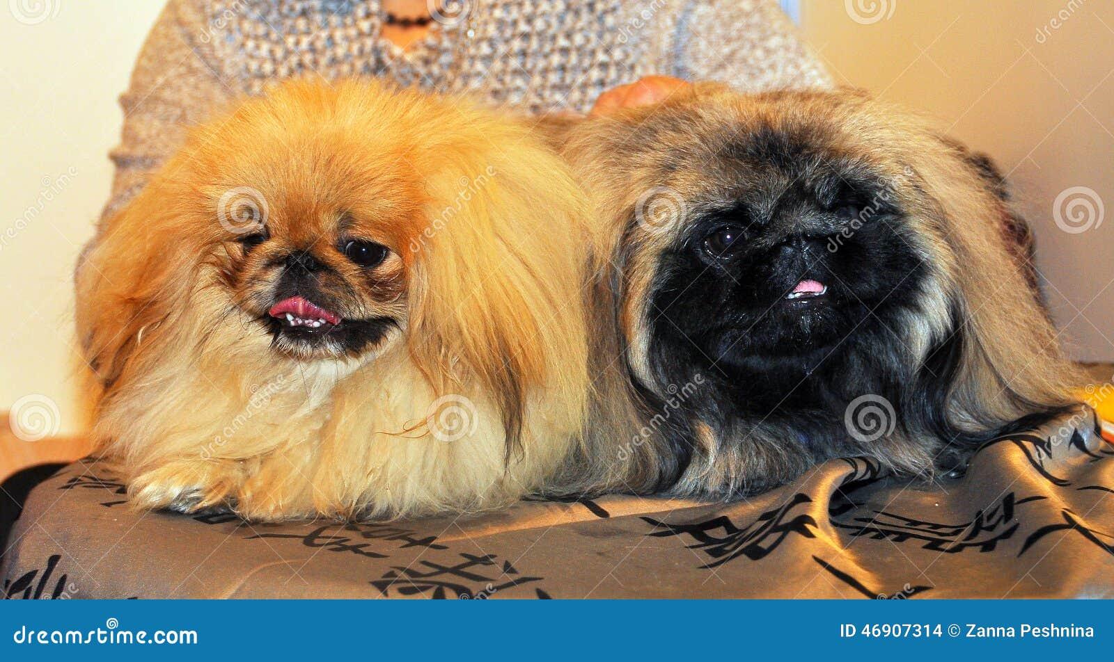 Dwa śmiesznego Pekingese psa