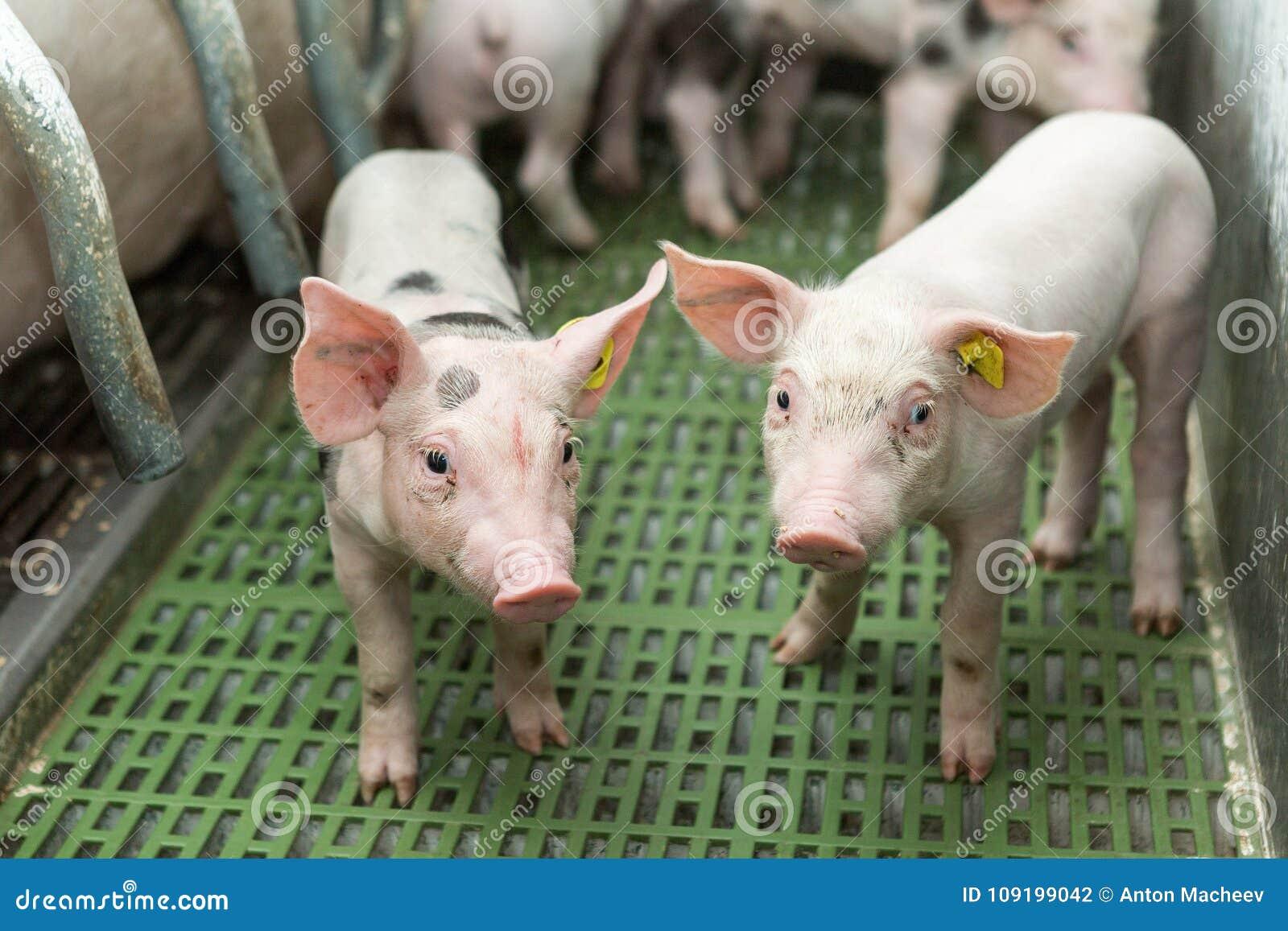 Dwa świni, Świniowaty gospodarstwo rolne, Śmieszni prosiaczki