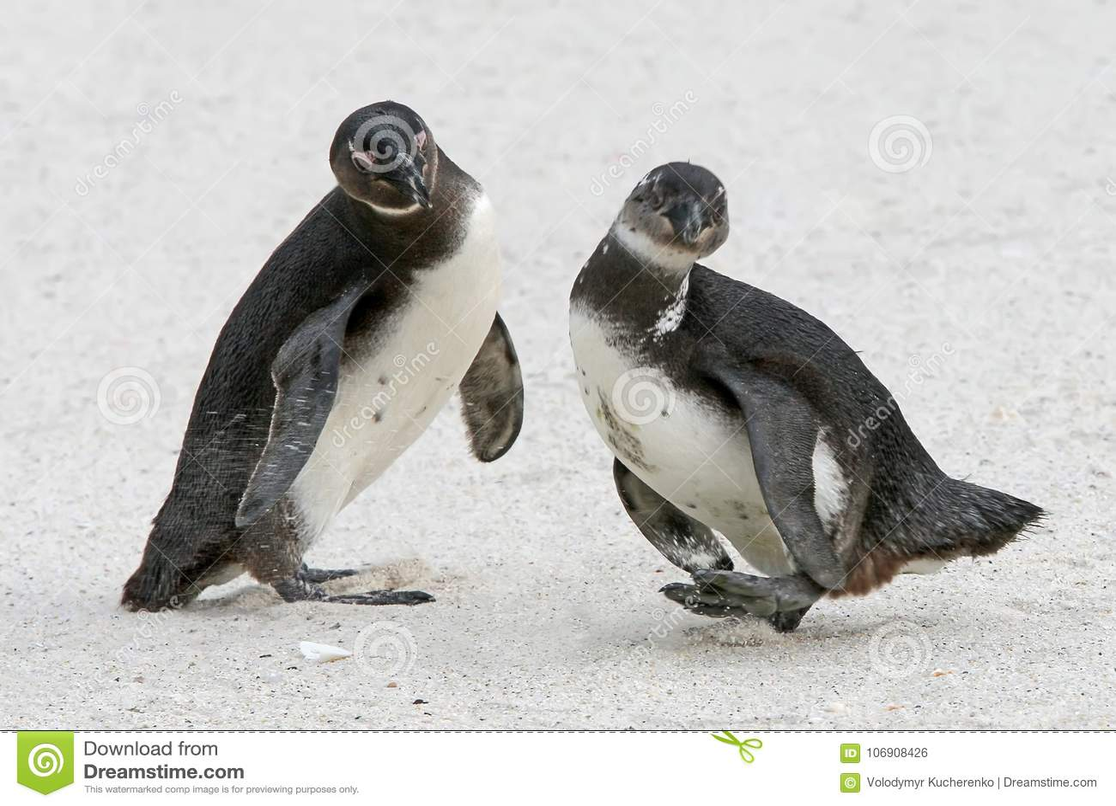 Dwa afrykanina pingwinu Spheniscus demersus