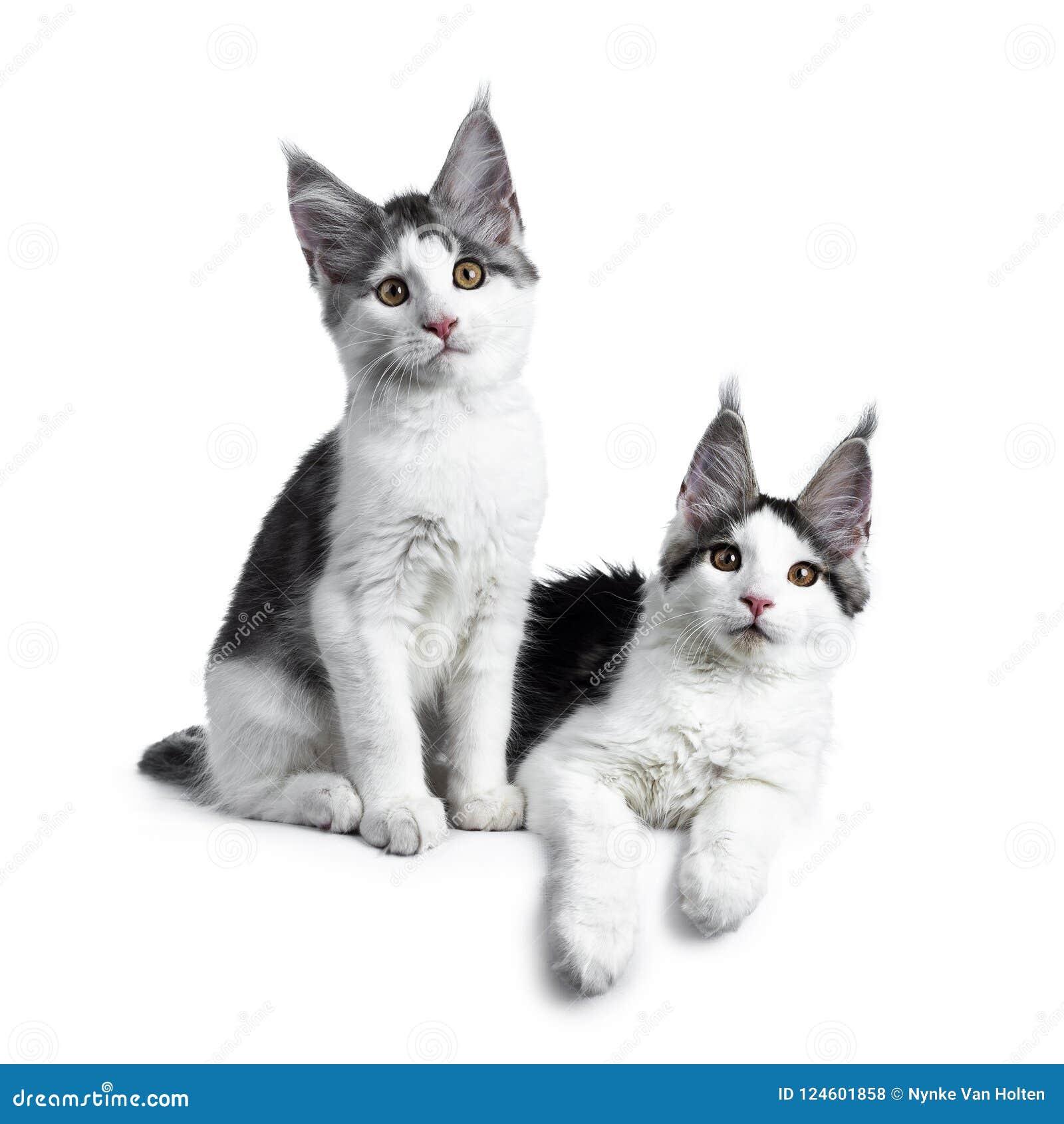 Dwa Błękitów Tabby Arlekinu Maine Coon Wysoki Biały Kot Na Bielu