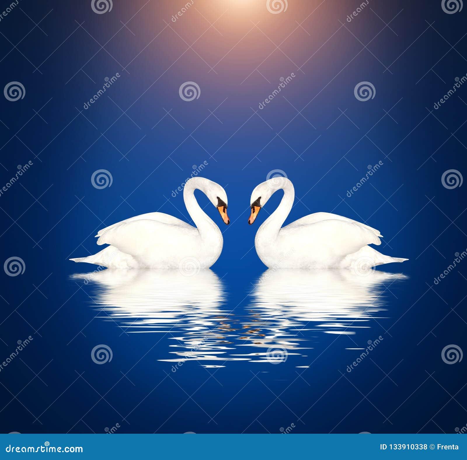 Dwa białego łabędź na błękitnym tle