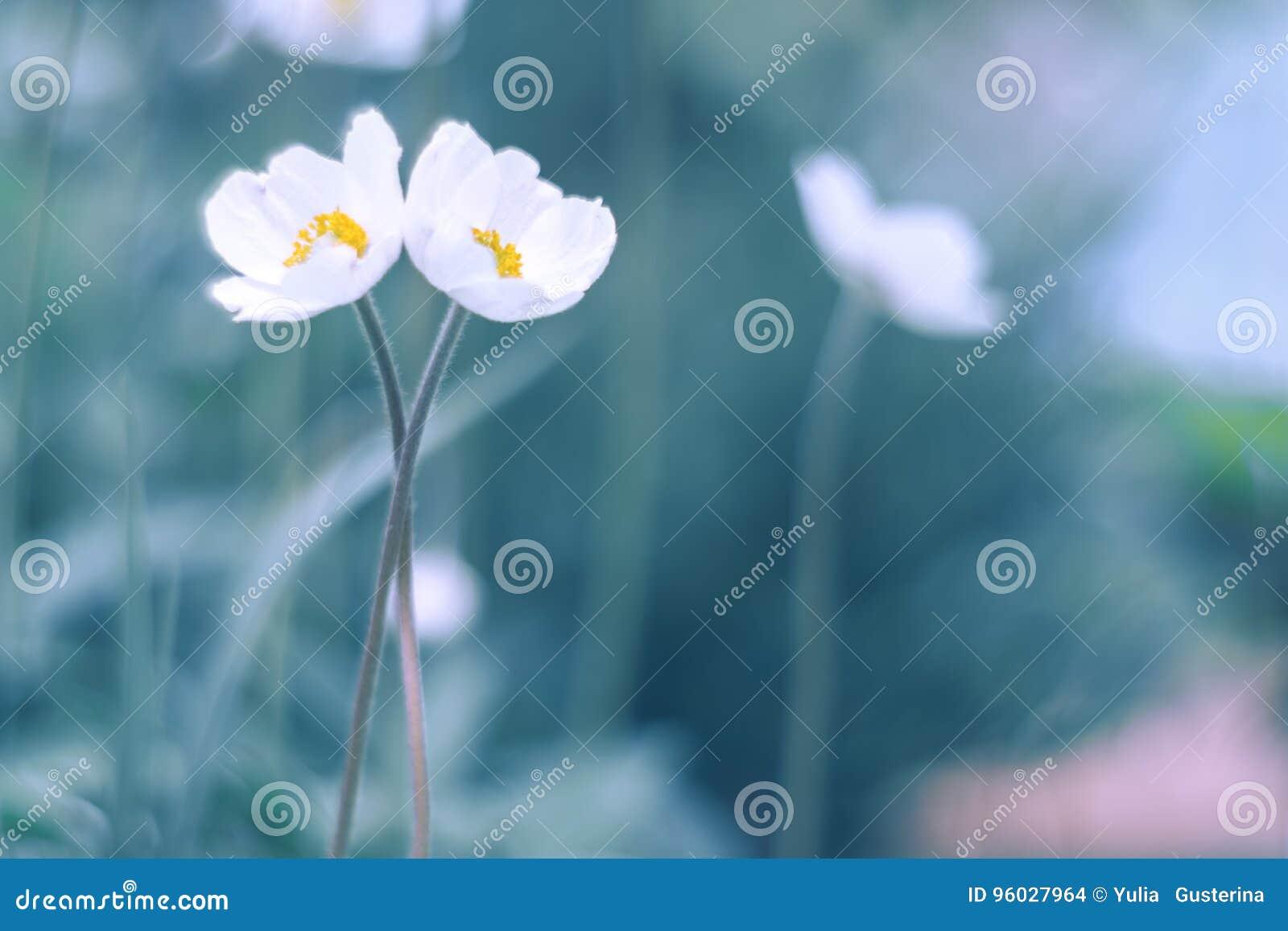 Dwa białego kwiatu delikatnie natchnącego w rękach Artystyczni sposobu kwiatu anemony