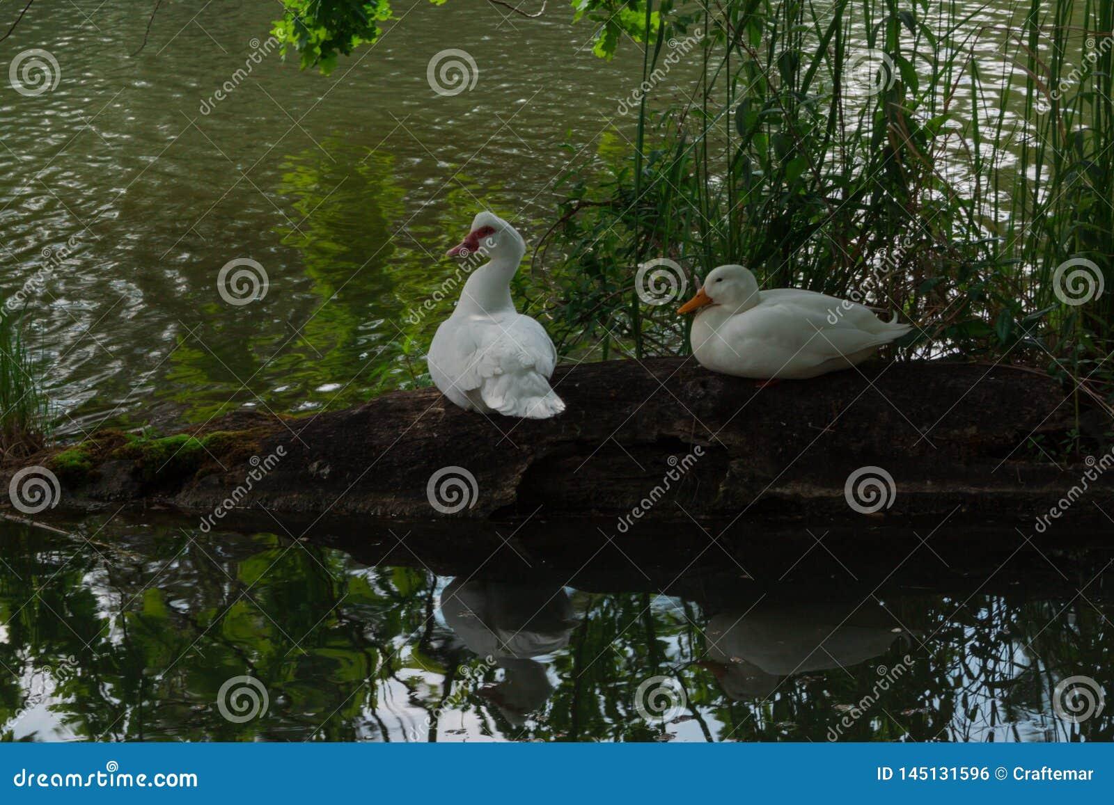 Dwa białej kaczki siedzą na starej nazwie użytkownikiej wiejski staw otaczał zieloną trawą G?ska na zielonym tle
