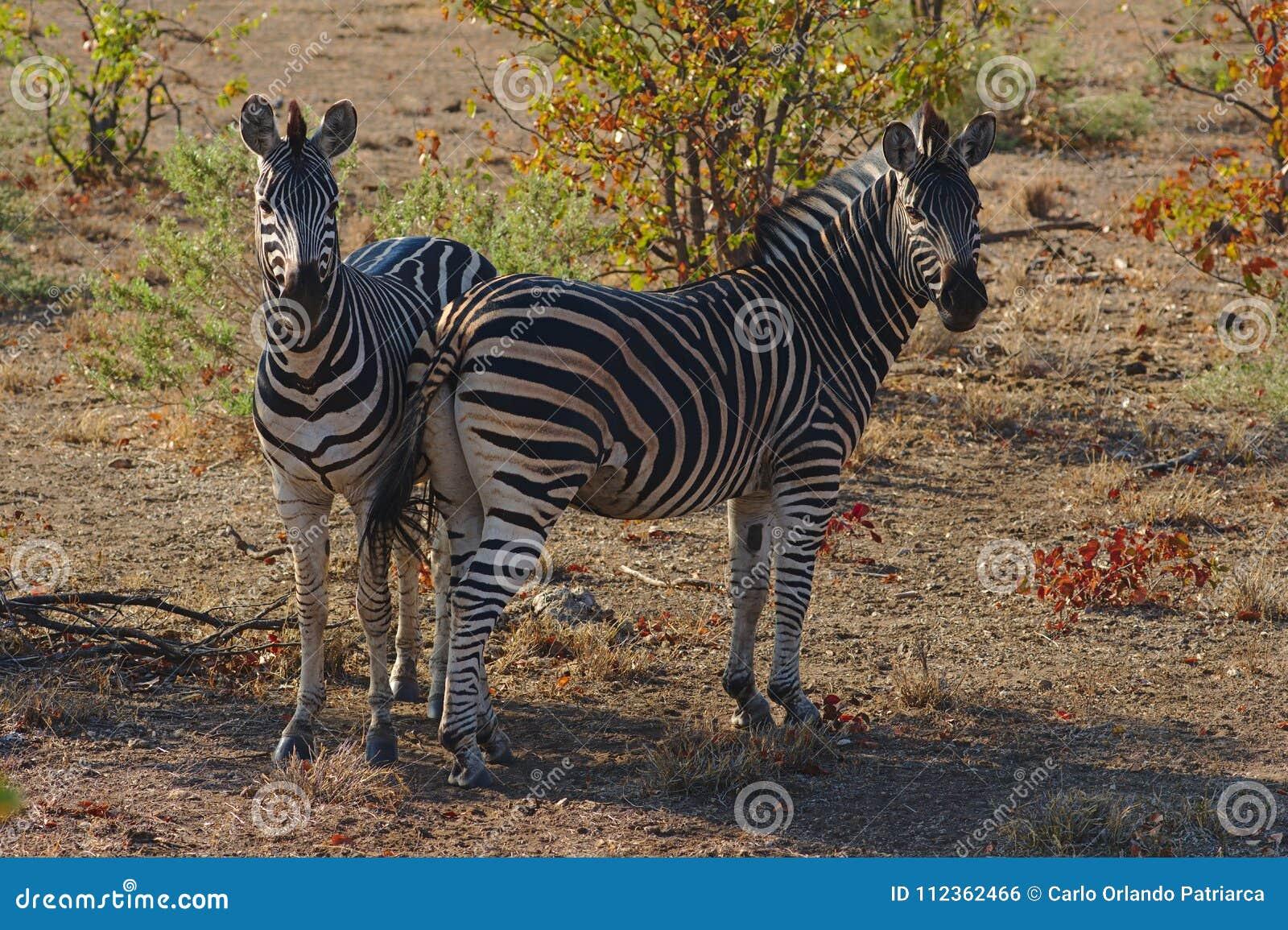 Dwa Burchell ` s zebry Equus burchelli odpoczywa w cieniu Kruger park narodowy, Południowa Afryka