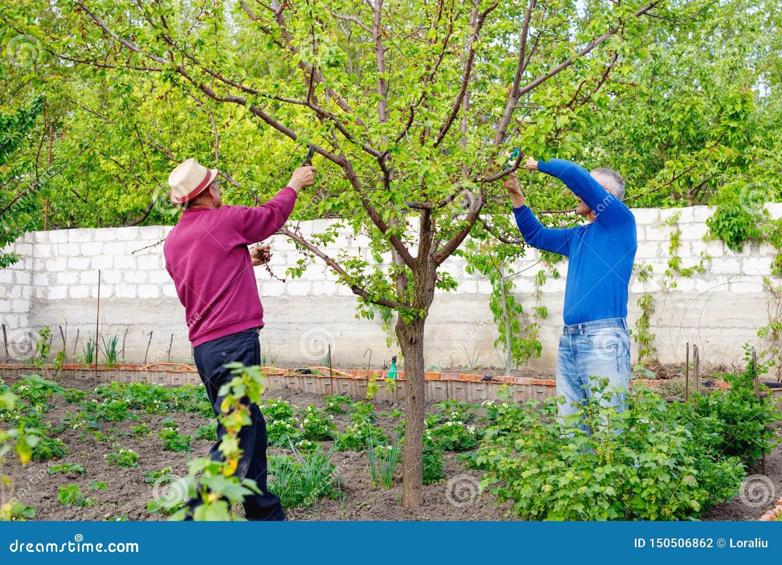 Dwa dorosłego rolnika przycina drzewa w ogródzie outdoors z szkłami i kapeluszem