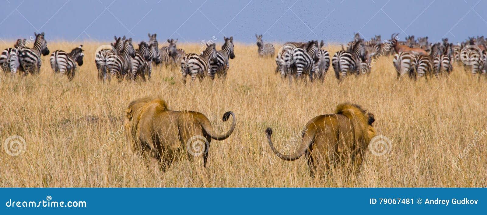 Dwa dużego męskiego lwa na polowaniu Park Narodowy Kenja Tanzania mara masajów kmieć