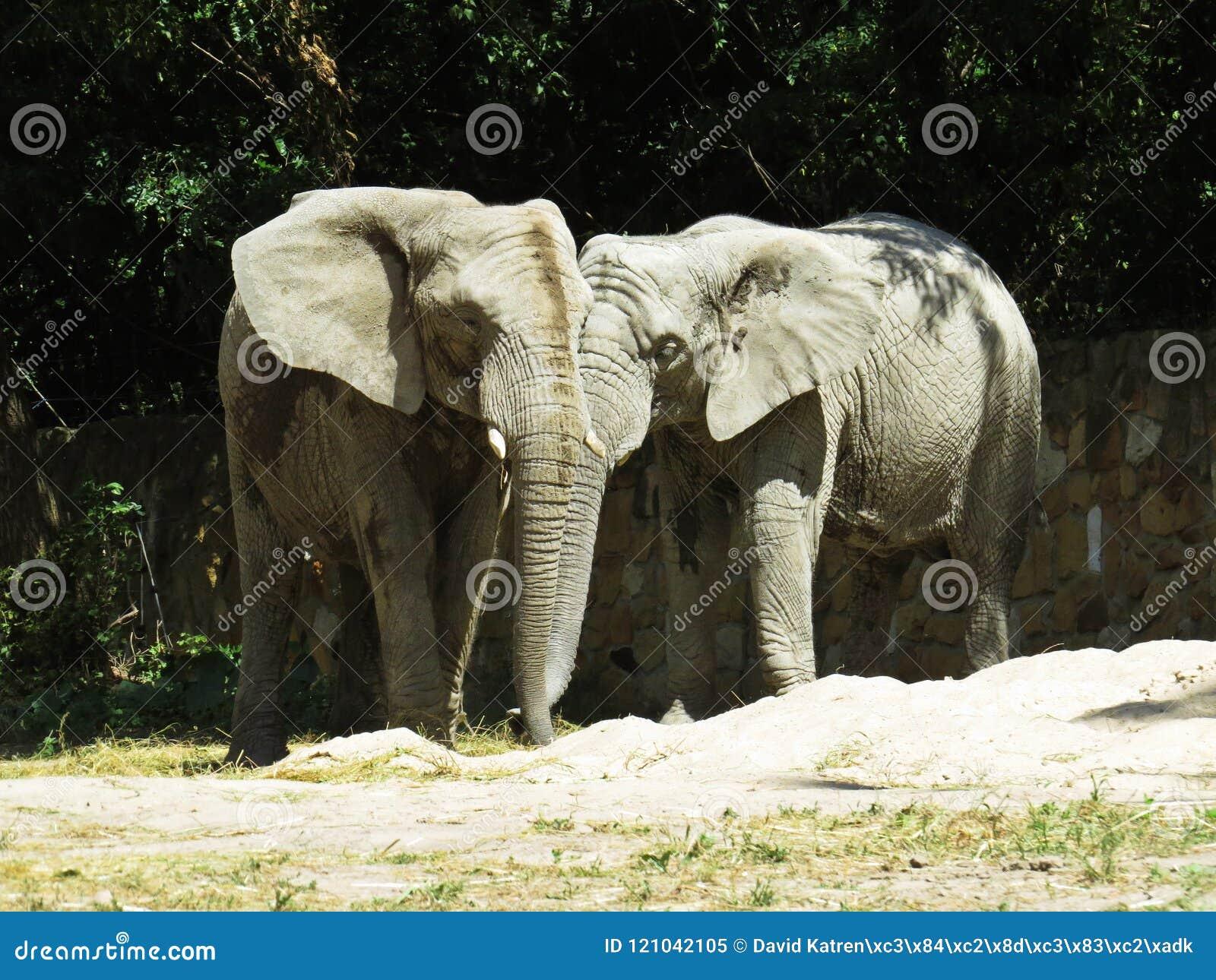 Dwa Dużego Ogromnego słonia Wpólnie w miłości zakończeniu
