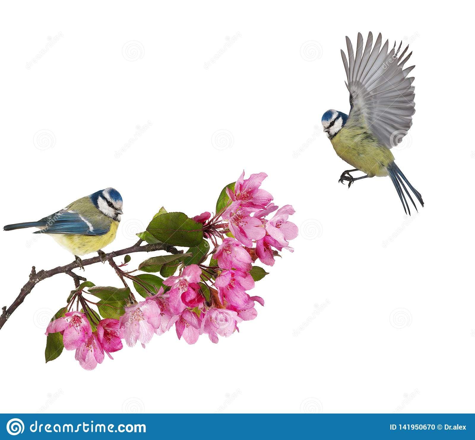 Dwa eurasian błękitnego tits na jabłoni gałąź z różowymi kwiatami
