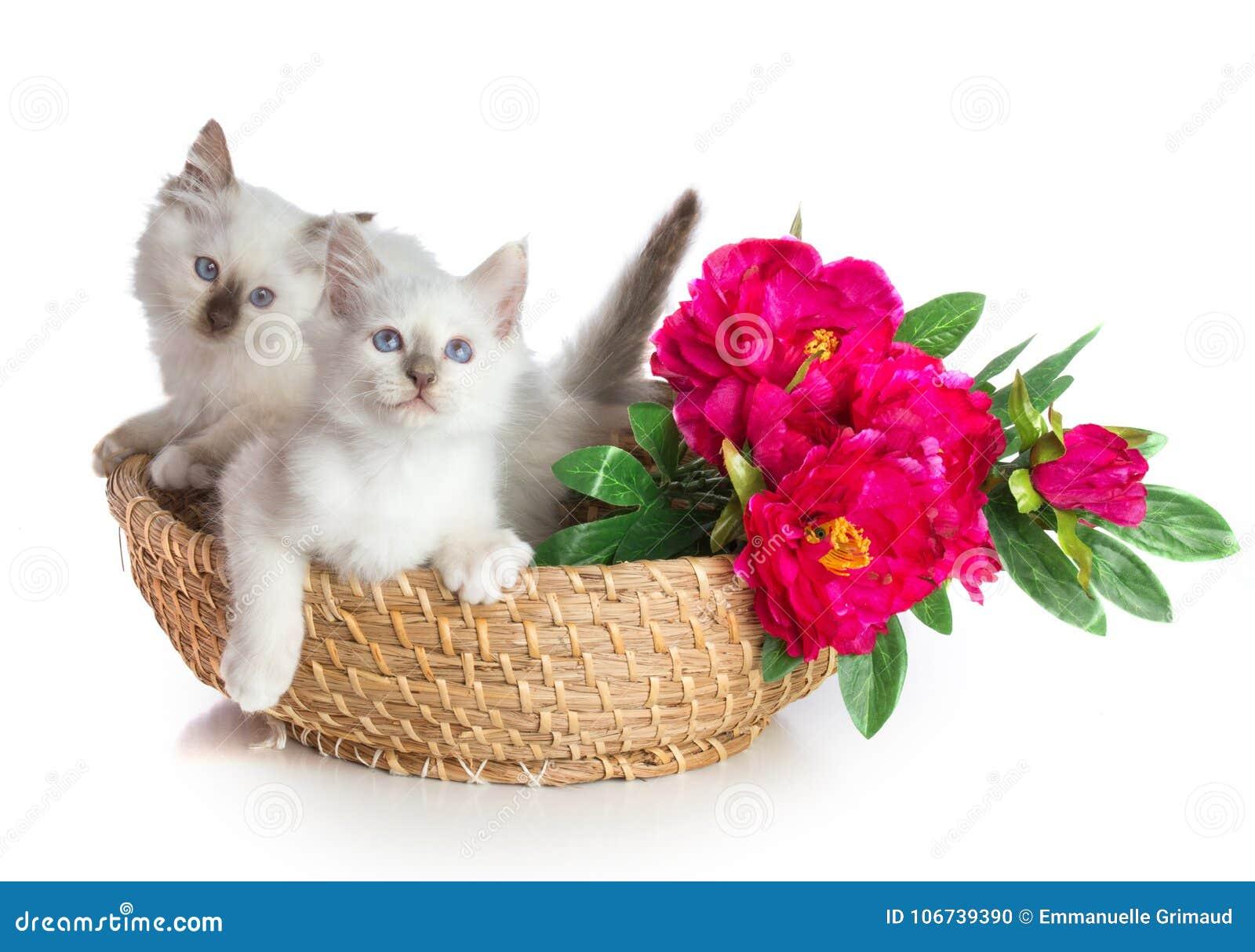 Dwa figlarki, święty kot Birma w koszu z kwiatami