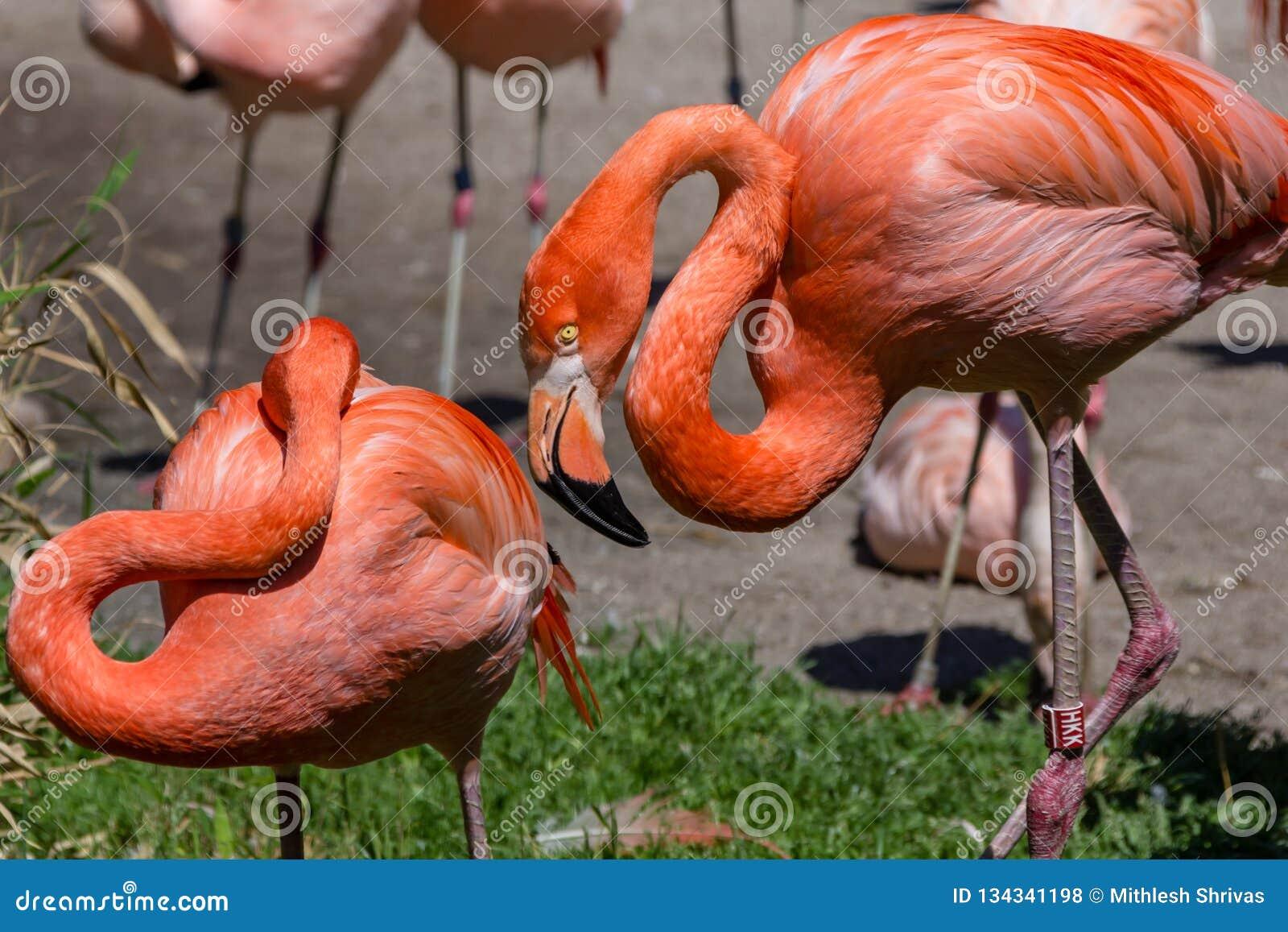 Dwa flaminga w Praga zoo, republika czech
