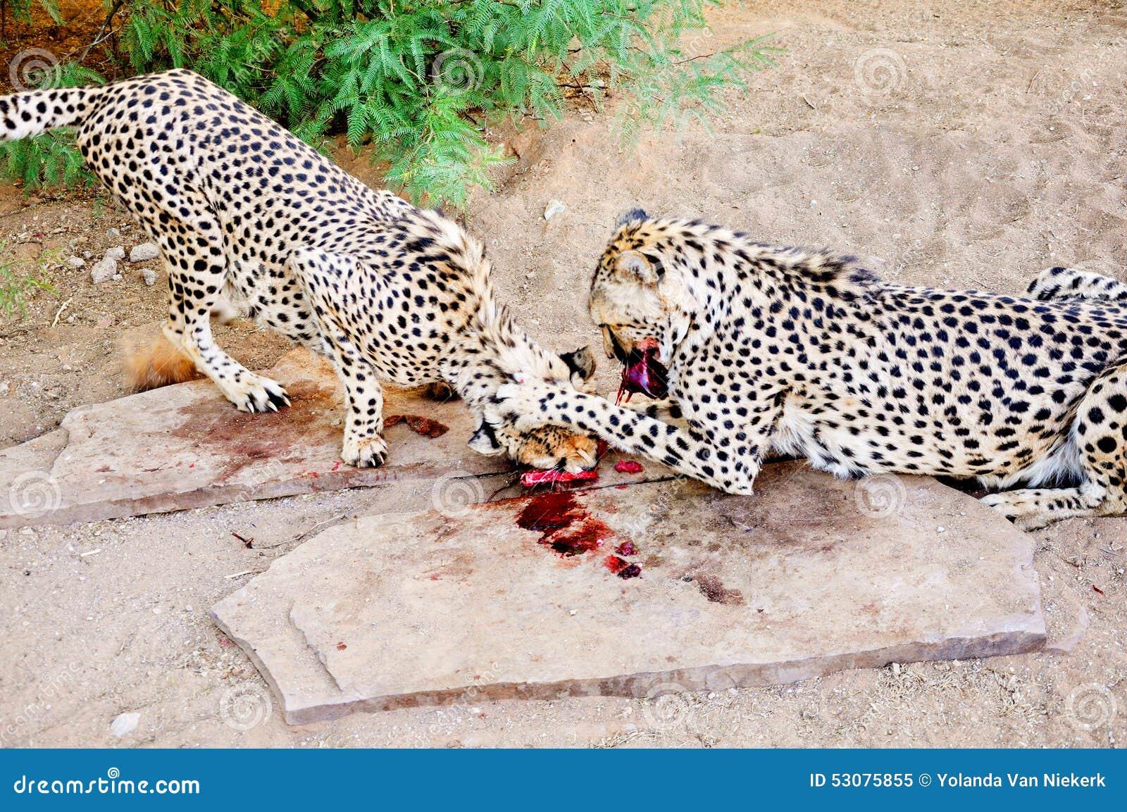 Dwa geparda wewnątrz w niewoli, Karmi