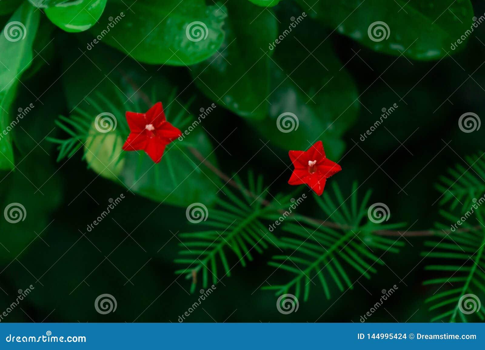 Dwa Gwiazdowy kwiat