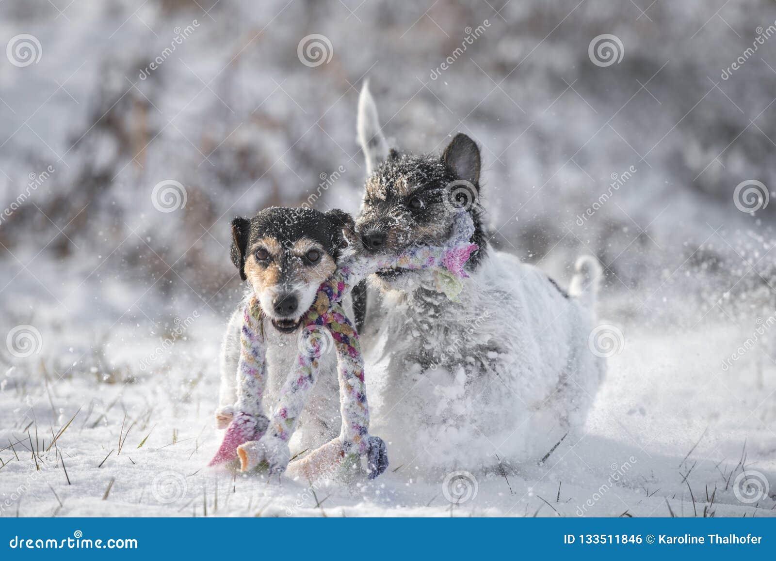 Dwa Jack Russell Terrier psa bawić się wpólnie im śnieg