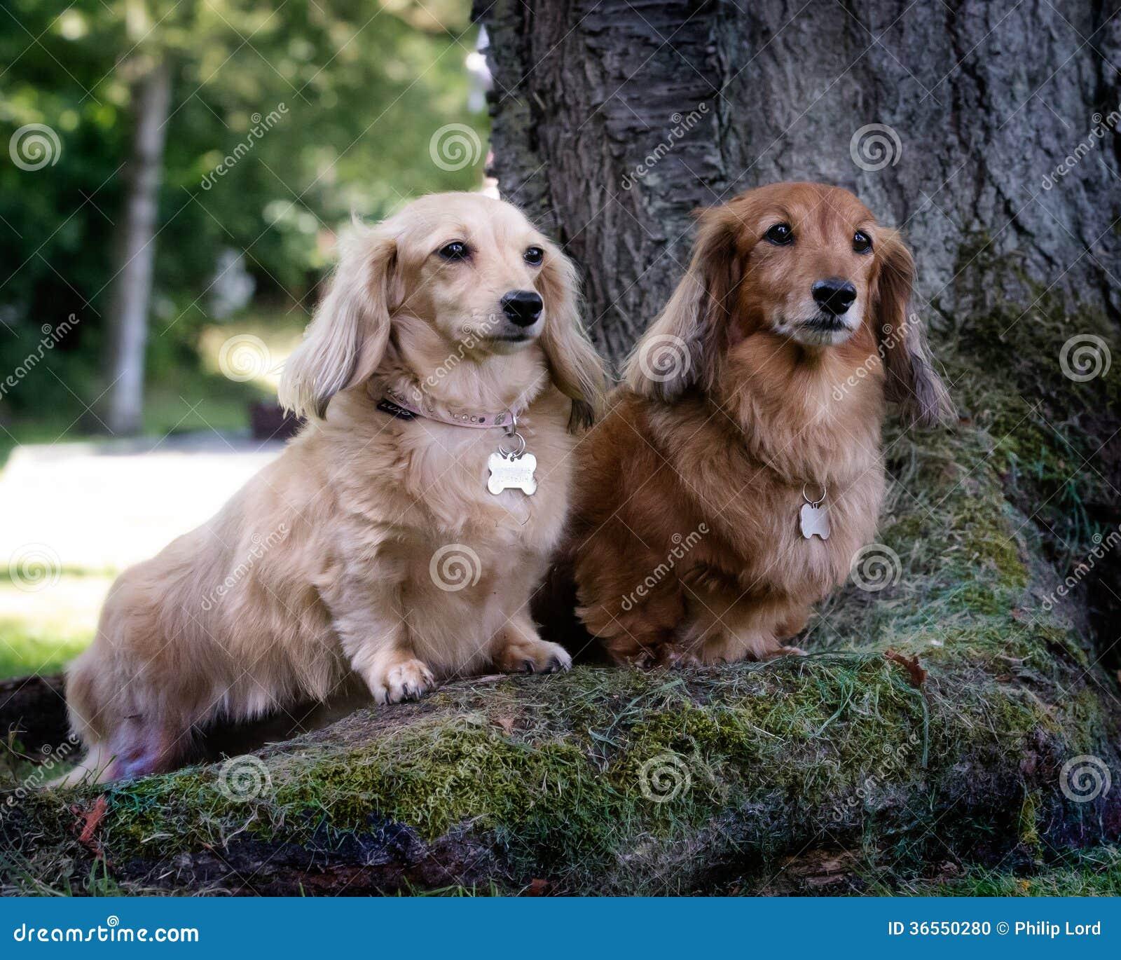 Dwa jamnika psa