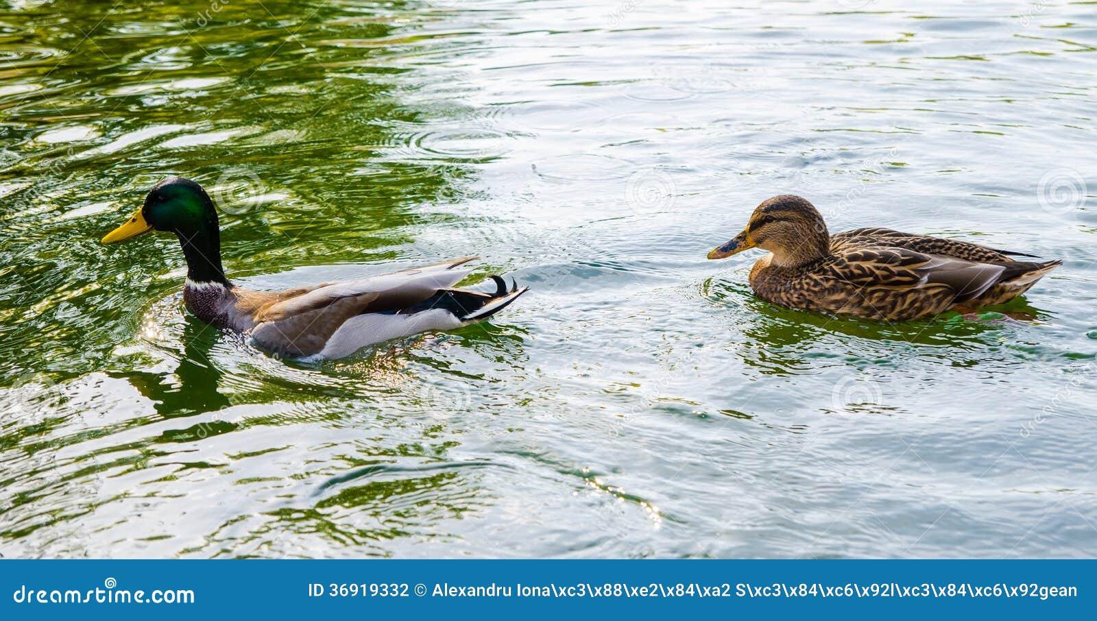 Dwa kaczki