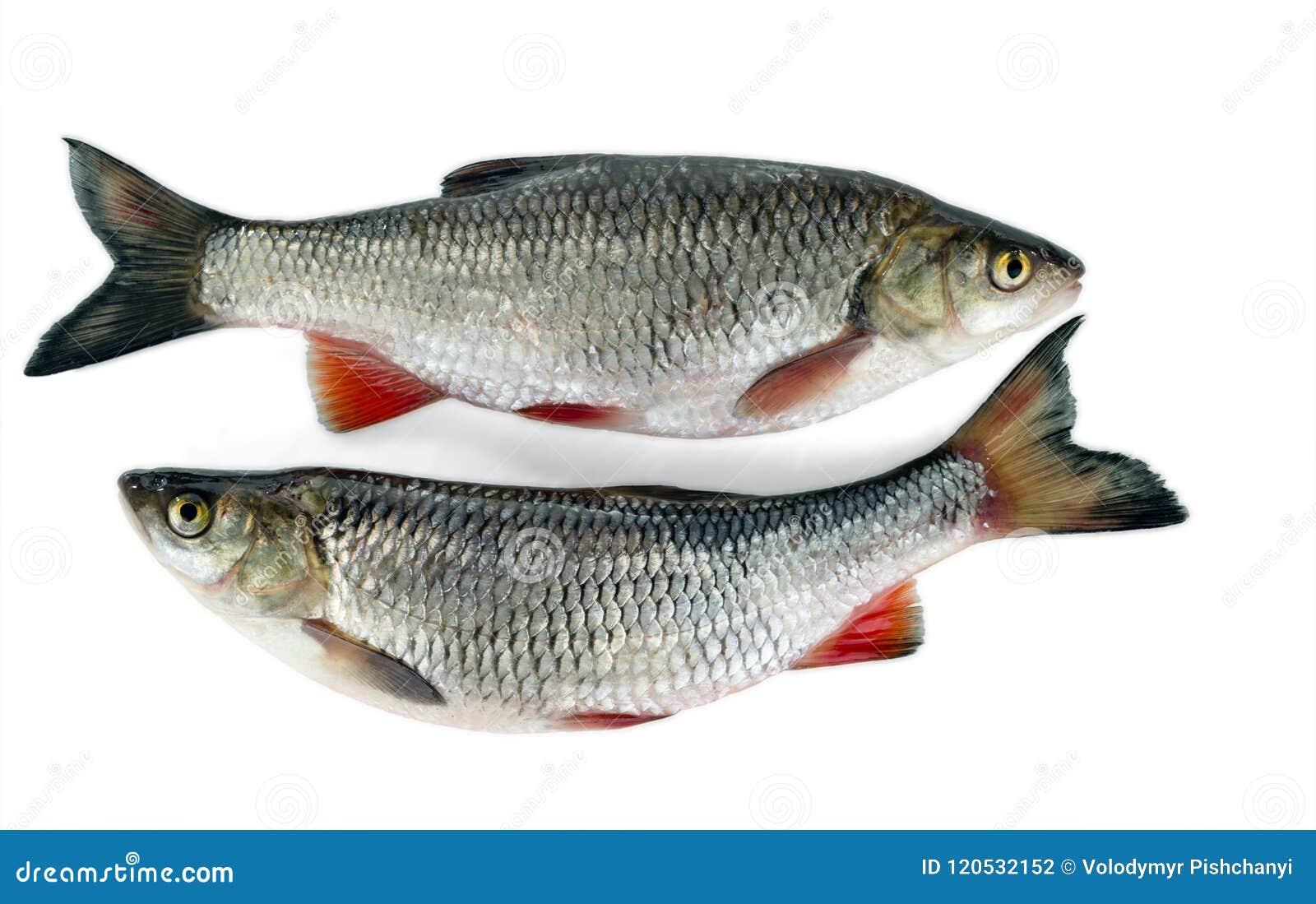 Dwa kleni kłamstwo w pobliżu pojedynczy białe tło Pospolita słodkowodna ryba