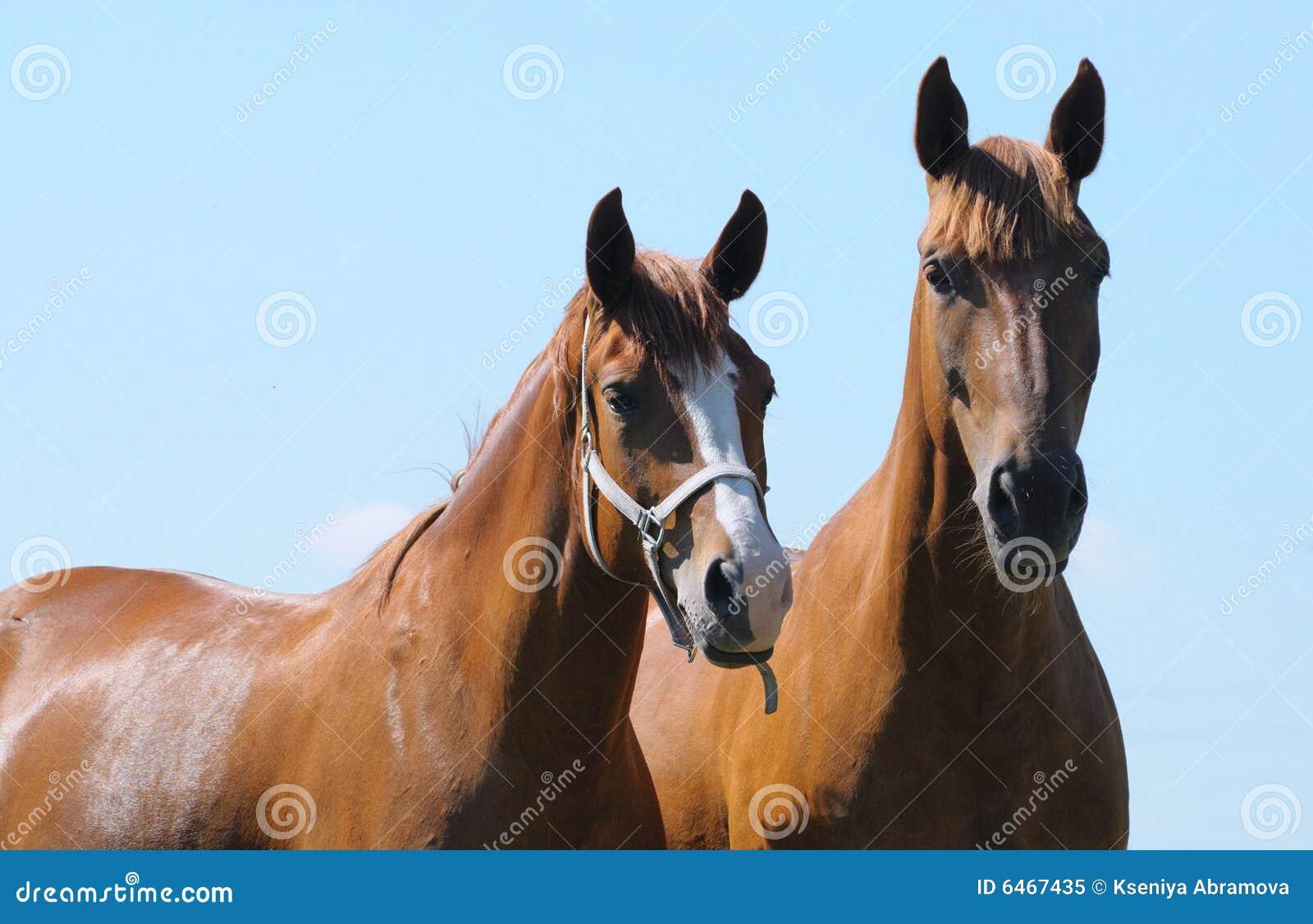 Dwa kobylak konia