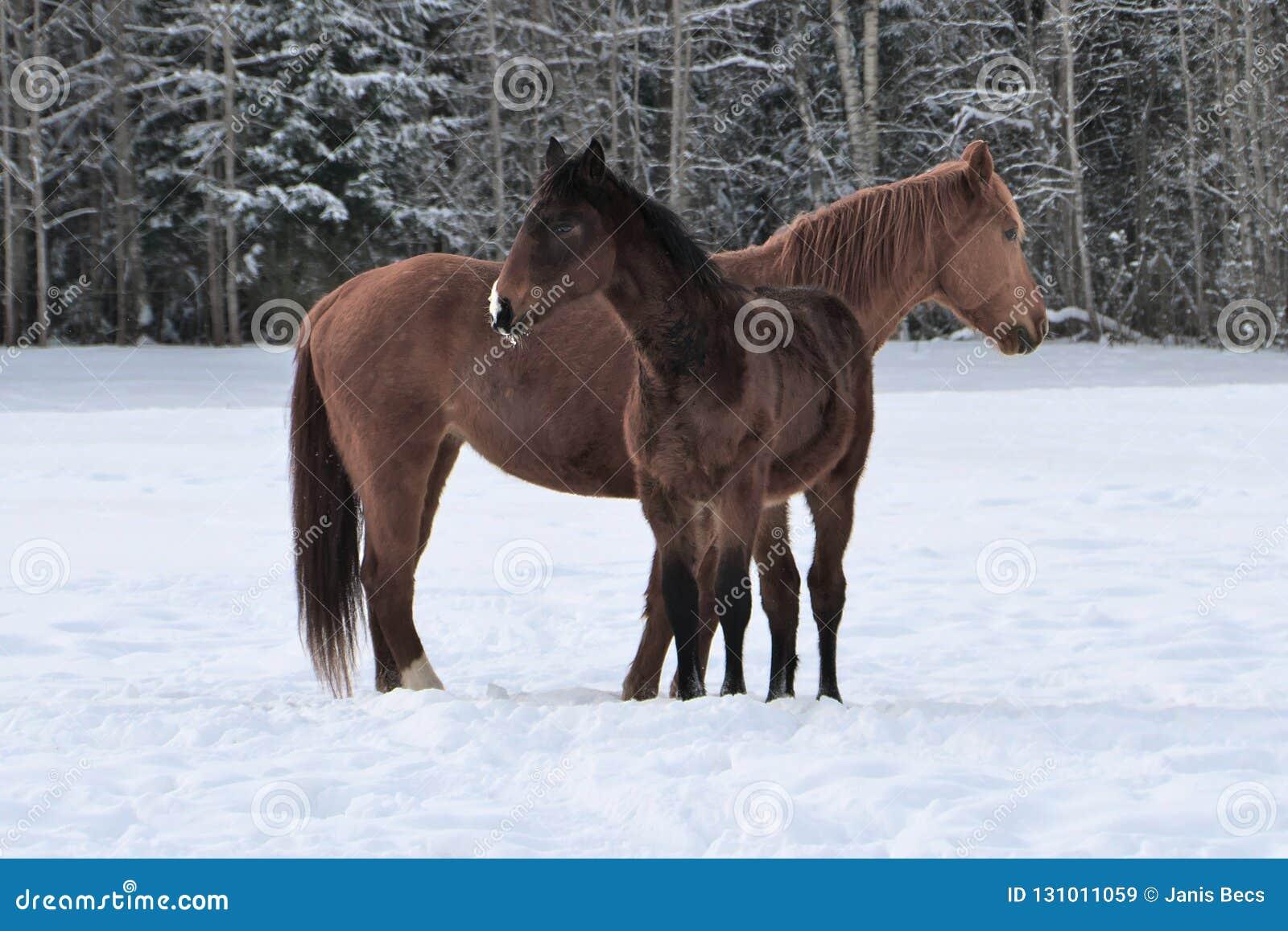Dwa konia jest ubranym zimę pokrywają bawić się w śnieg zakrywającym padoku