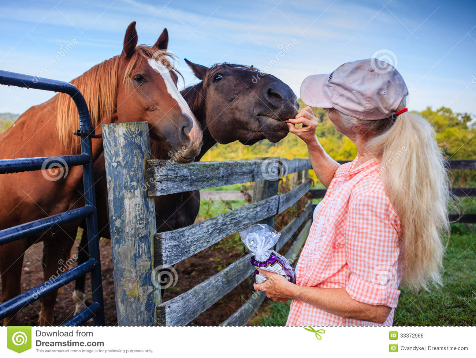 Dwa konia przy ogrodzeniem z kobietą