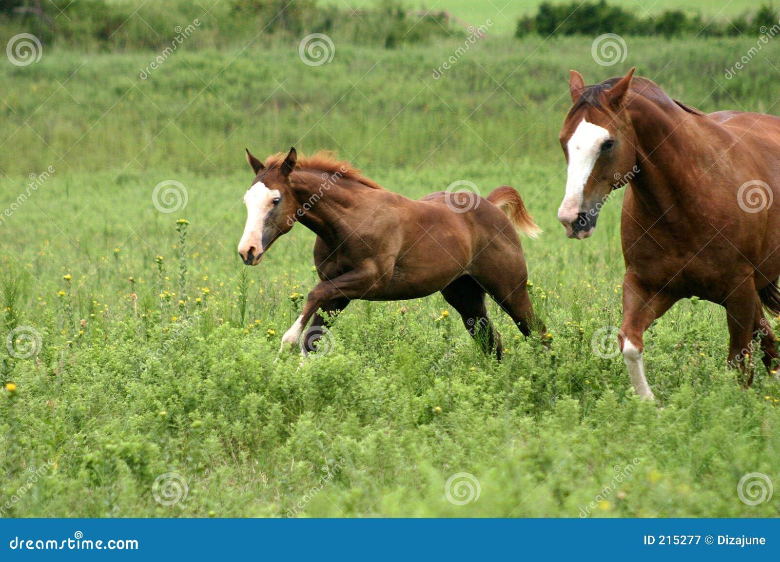 Dwa konie galopujący