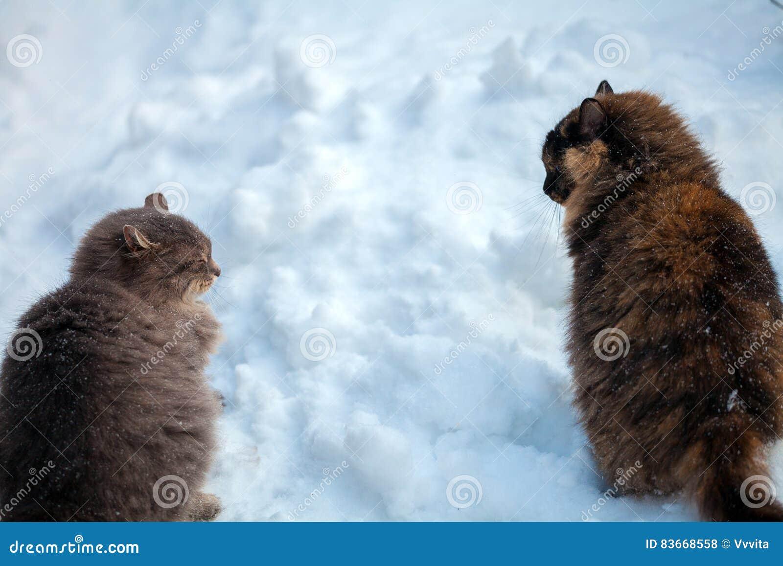 Dwa kota chodzi w śniegu