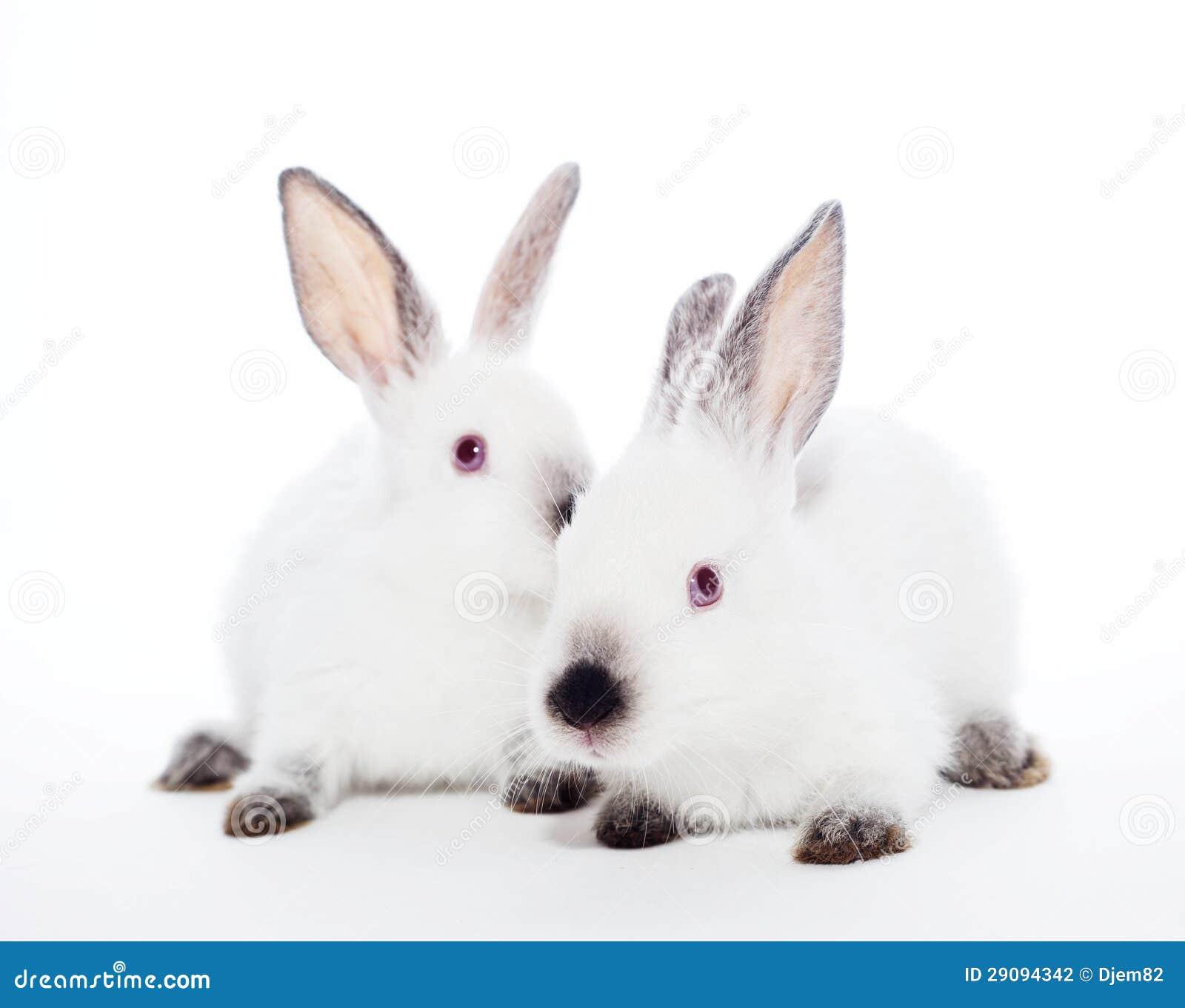 Dwa królika