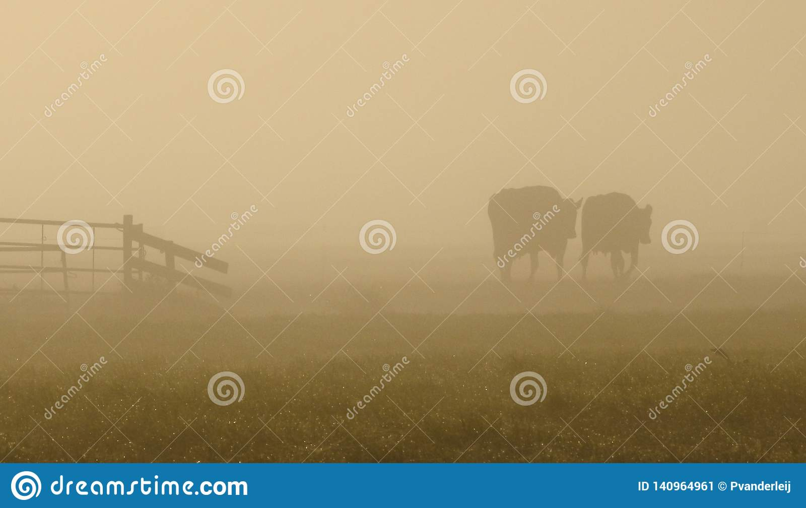 Dwa krowy chodzi w ranku świetle