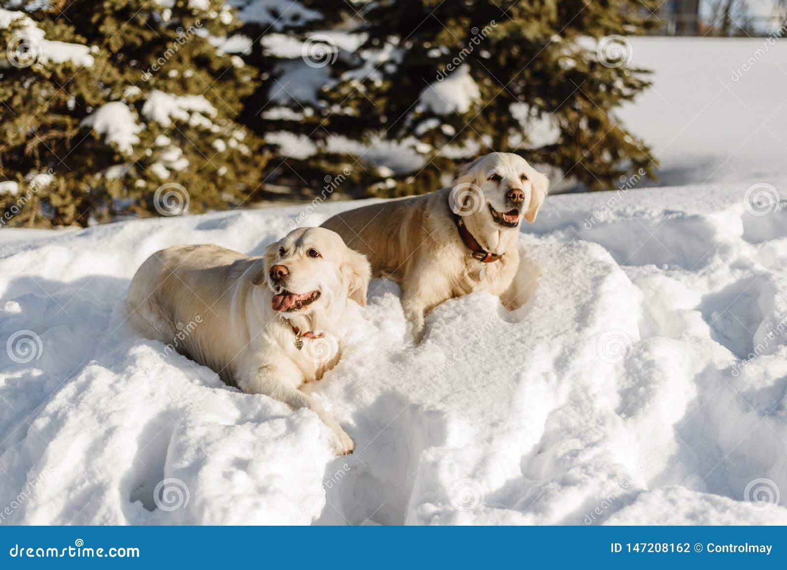 Dwa labradora psa w ?niegu