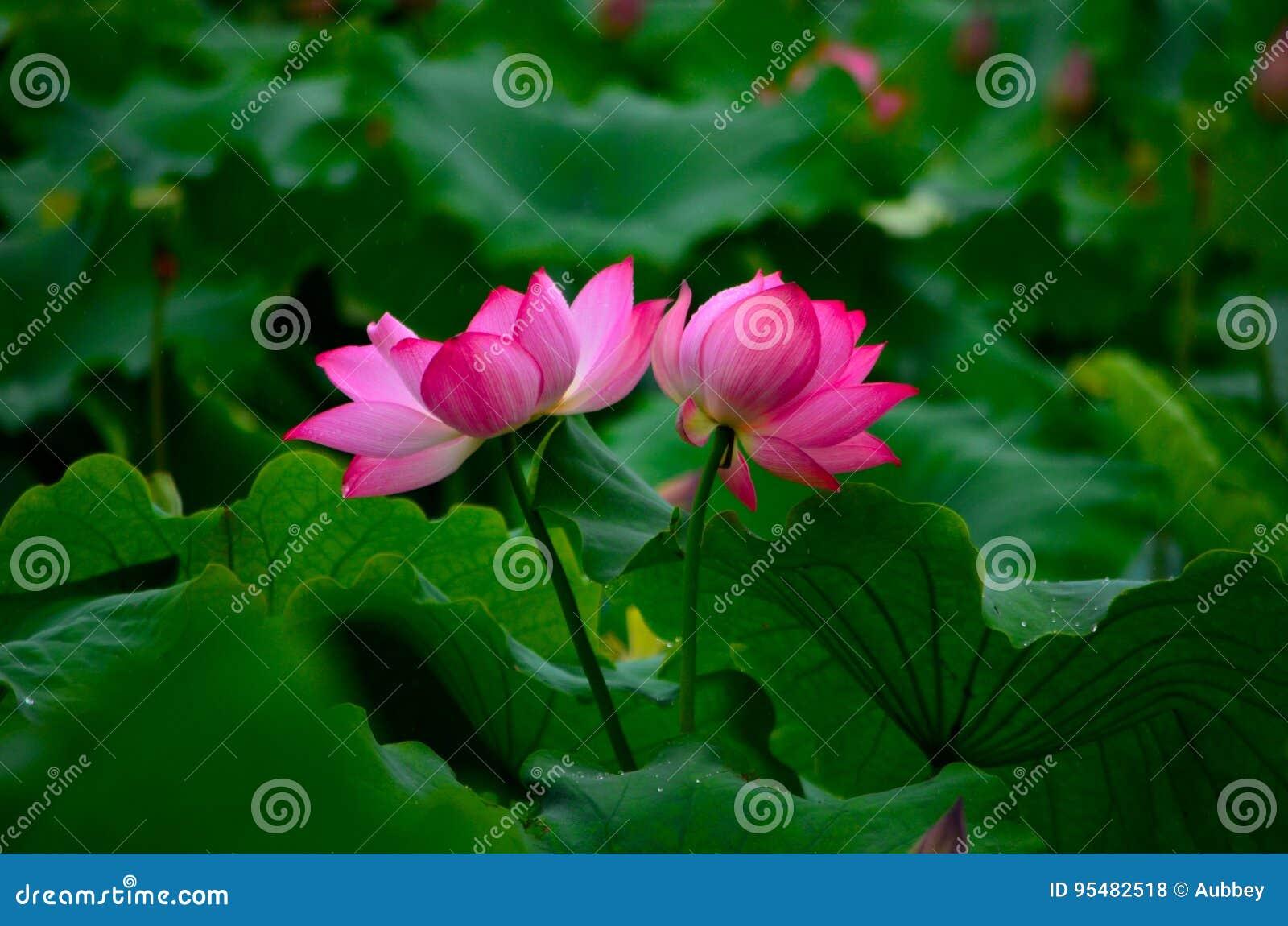 Dwa lotosowego kwiatu