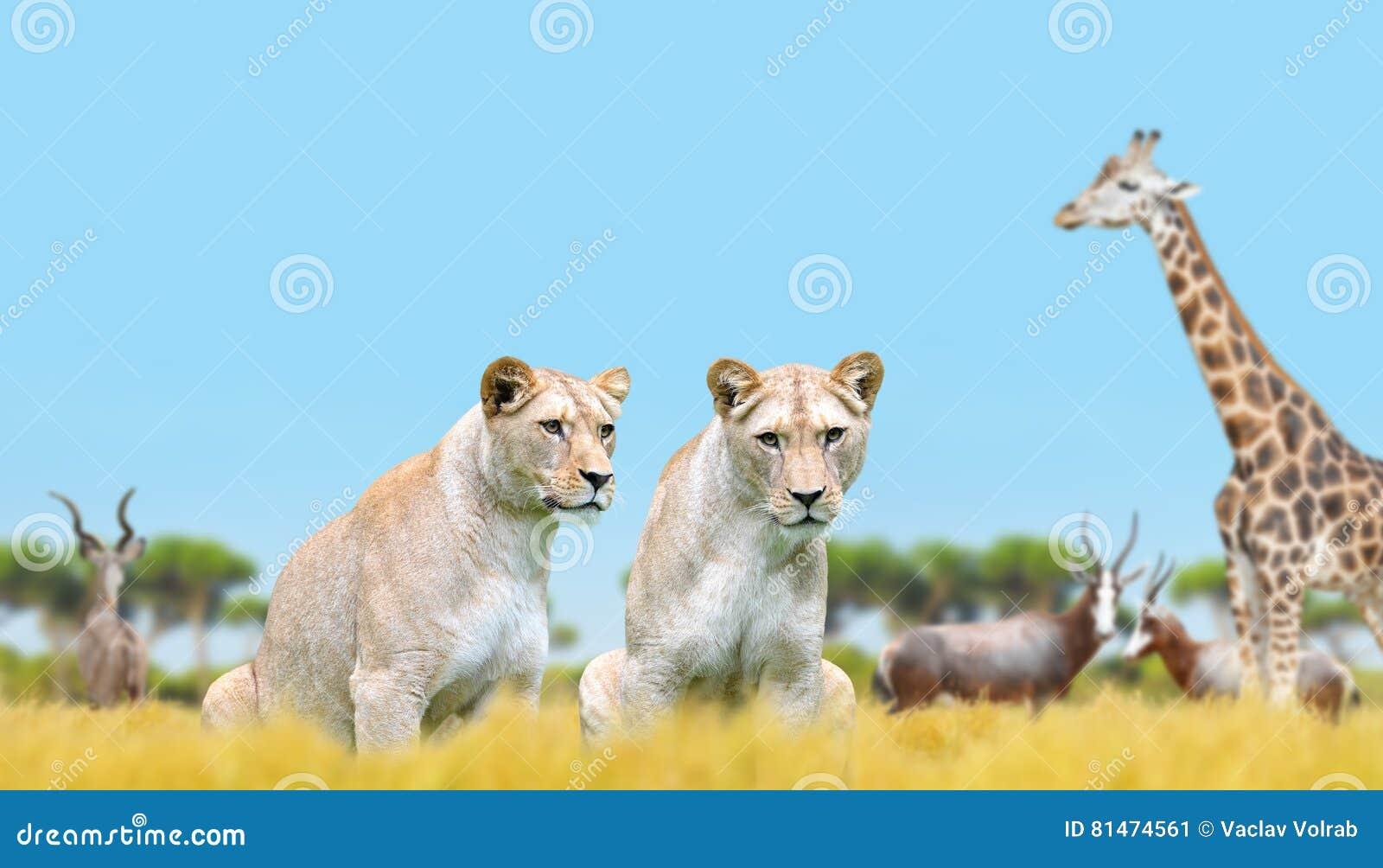 Dwa lwica na sawannie