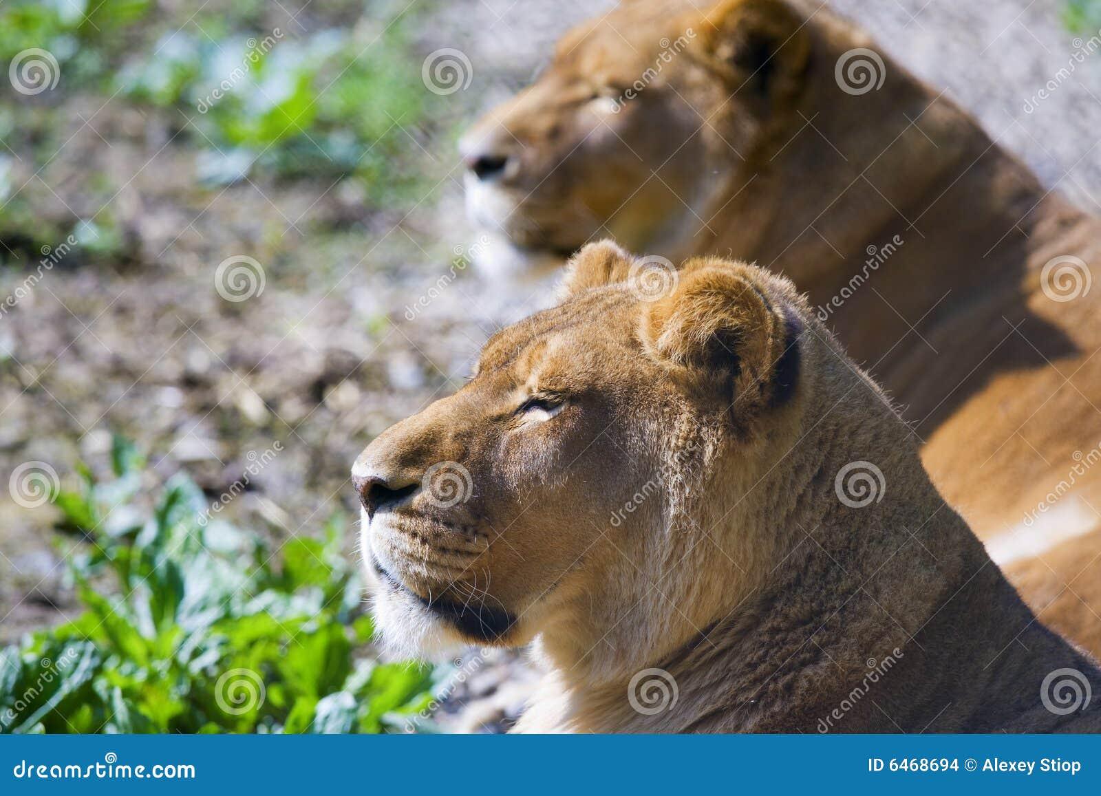 Dwa lwy