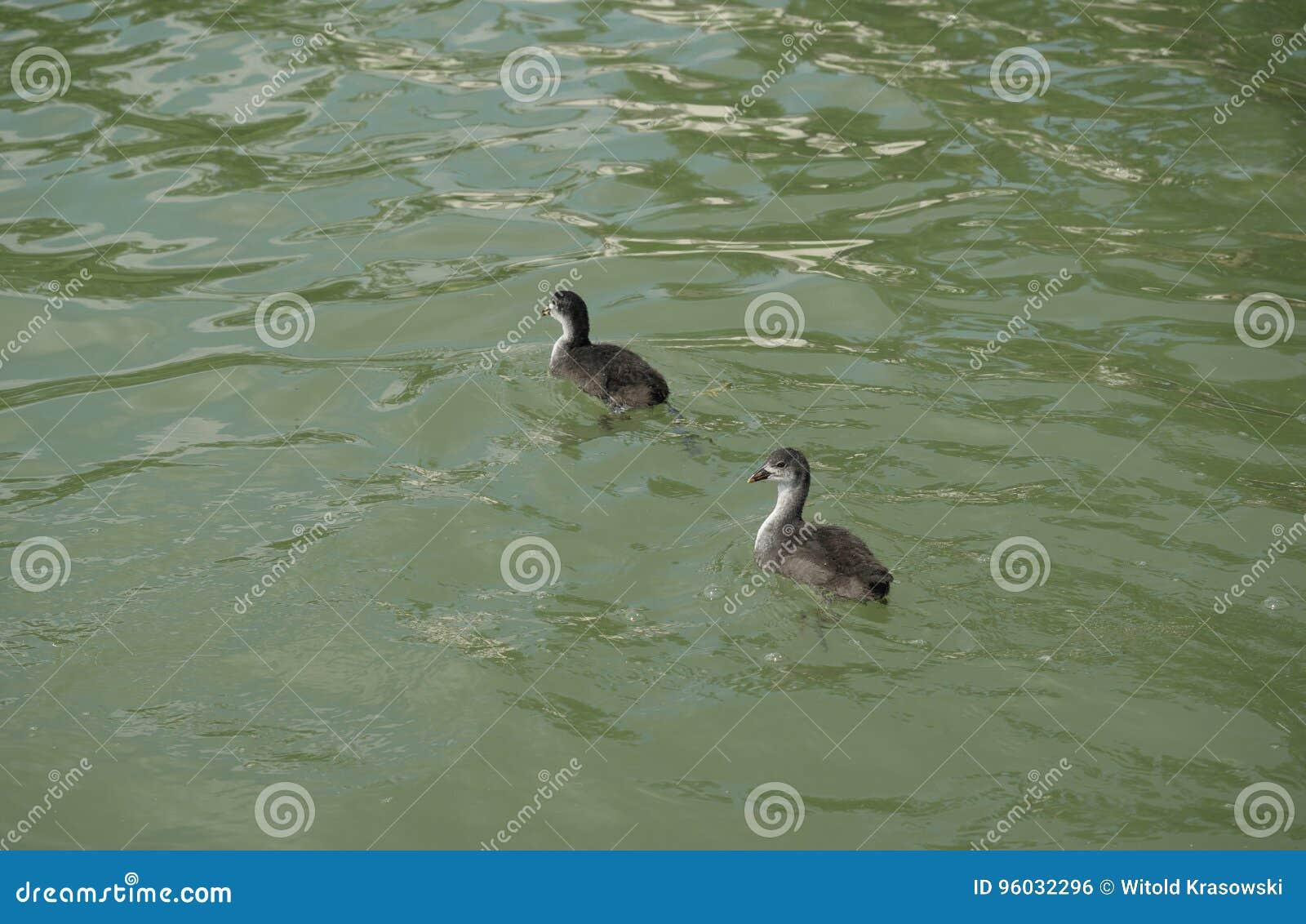 Dwa młodych ptaków coot na wodzie