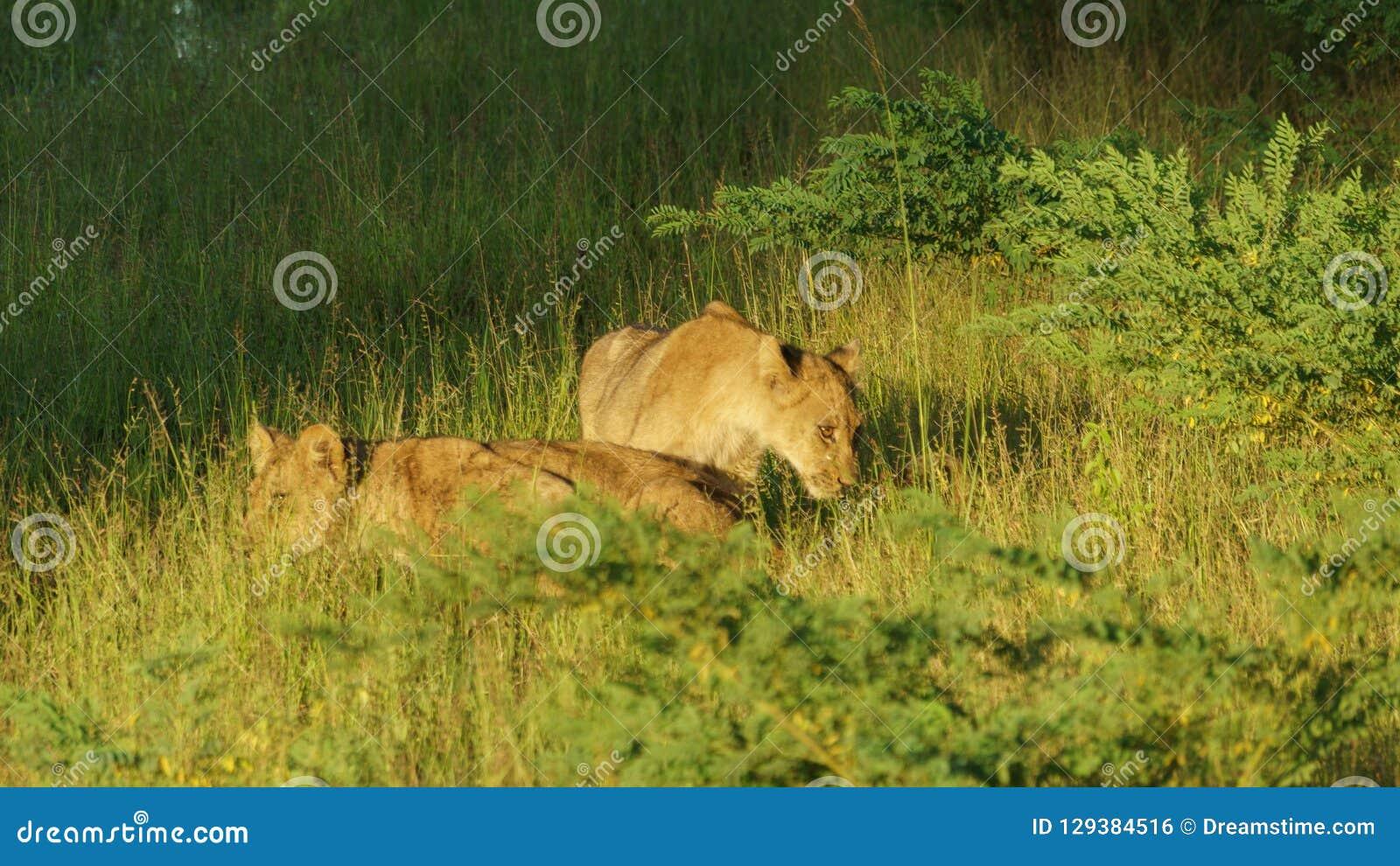 Dwa małego lwa nad zieloną trawą