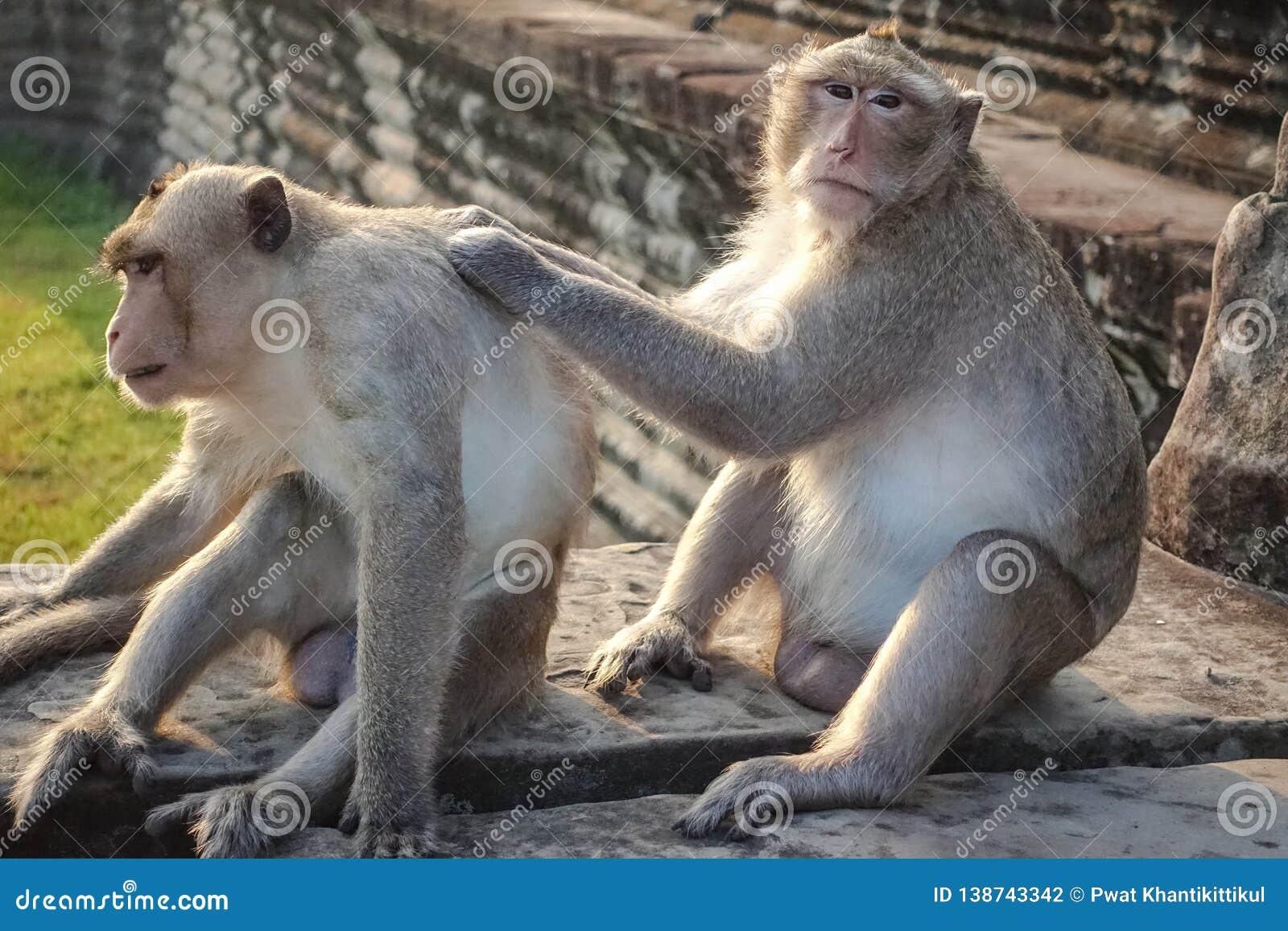 Dwa Małpi Znajdują cwelicha i patrzeją kamerę przy Angkor Wat