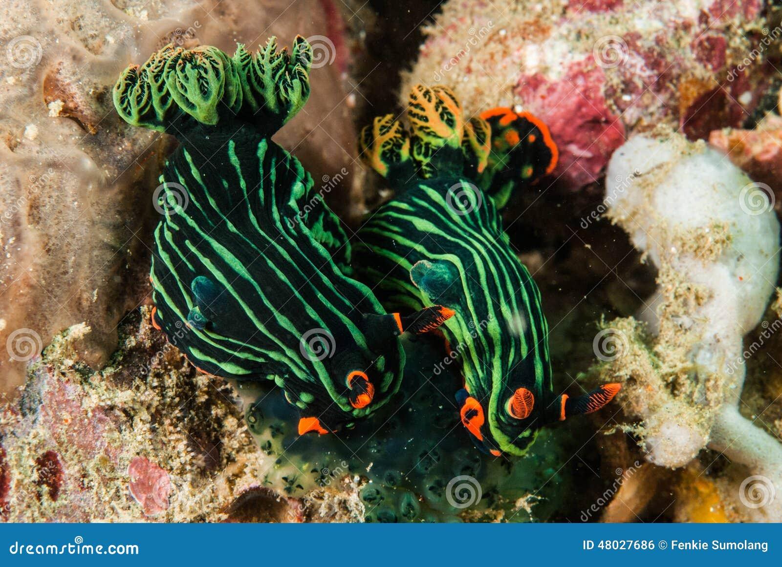 Dwa nudibranch w Ambon, Maluku, Indonezja podwodna fotografia