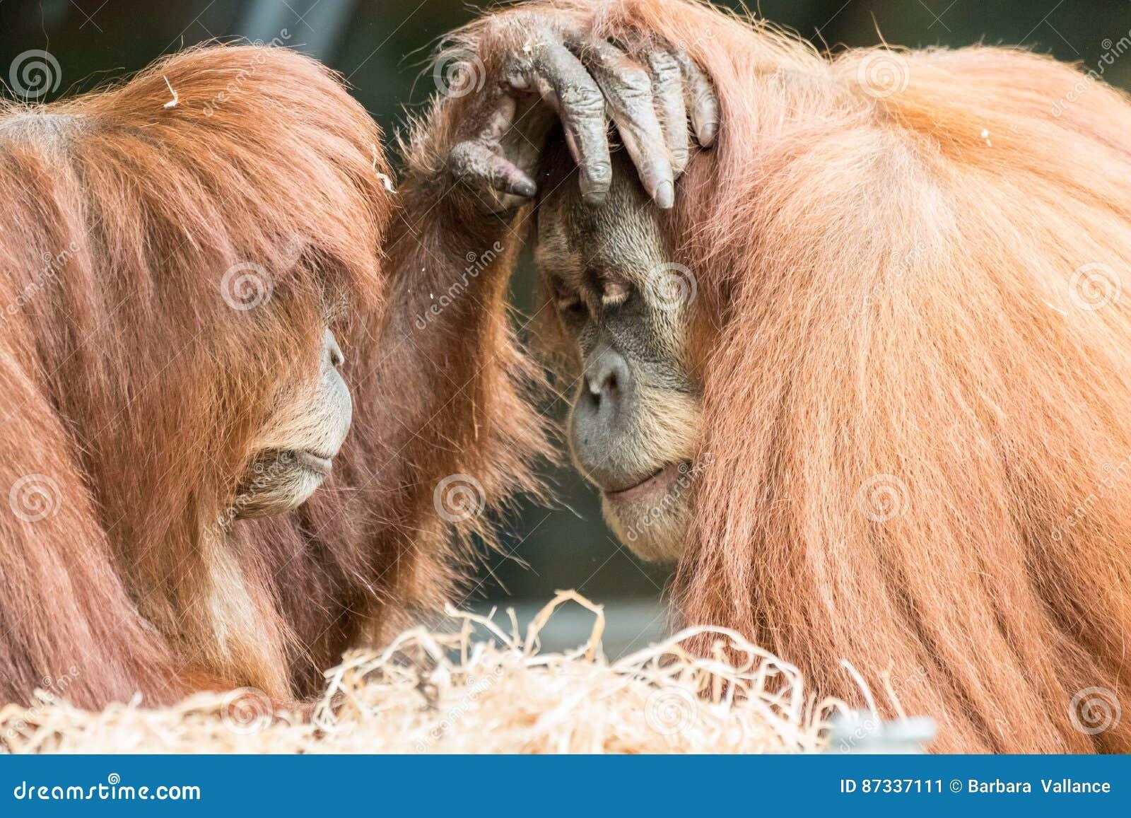 Dwa Orangutans Dotykają Each Inny na twarzy