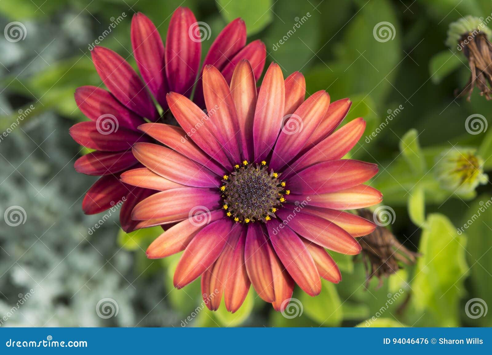 Dwa Osteospermum ` elita ` Rubinowego kwiatu